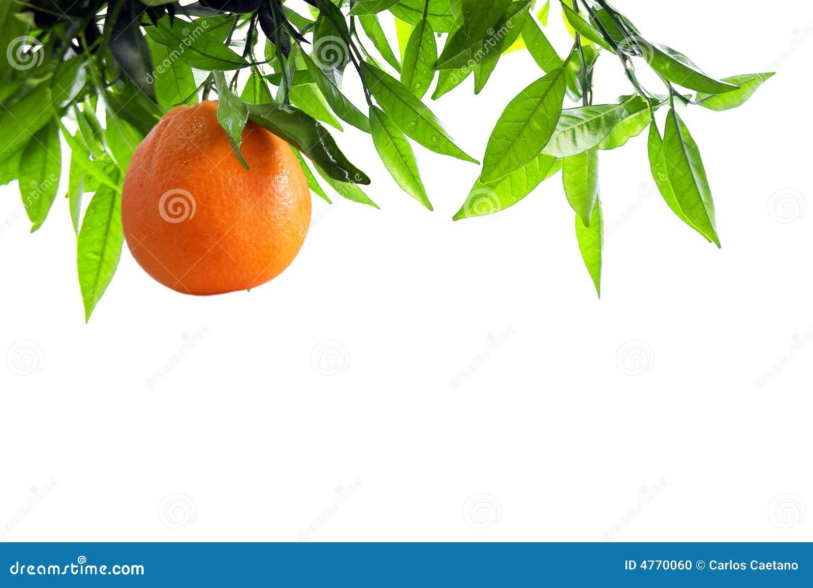 Orange Branch Stock Photo Image Of Countryside Light 4770060