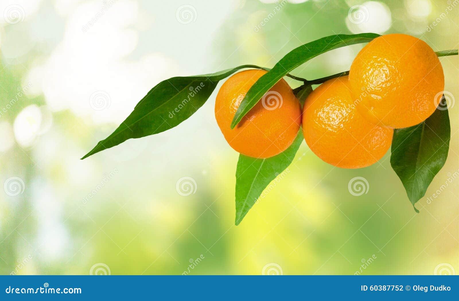 Orange Branch Stock Photo Image Of Group Citrus Branch 60387752
