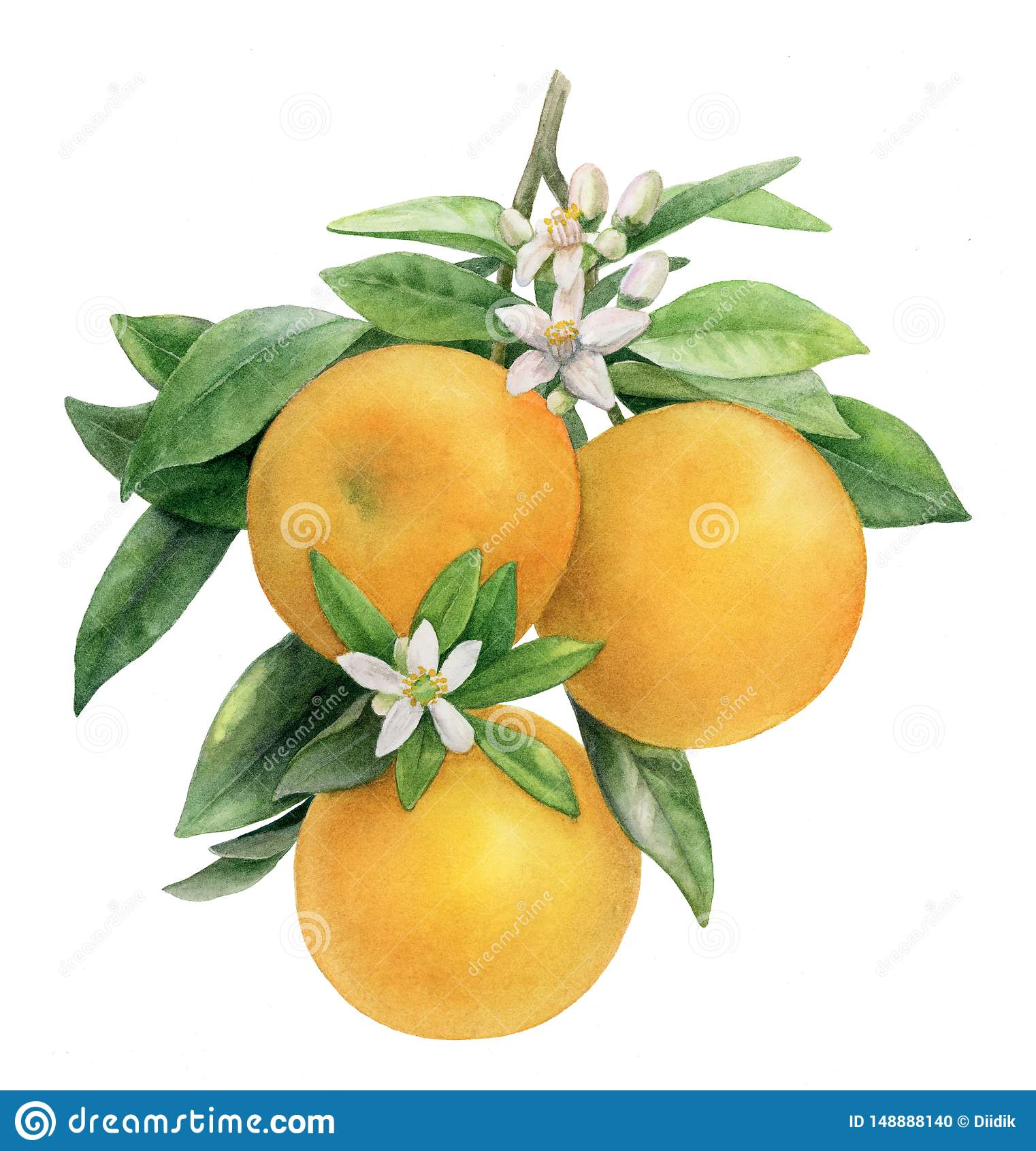 Orange Branch With Fruits And Flowers Hand Draw Illustration Stock Illustration Illustration Of Sketch Branch 148888140