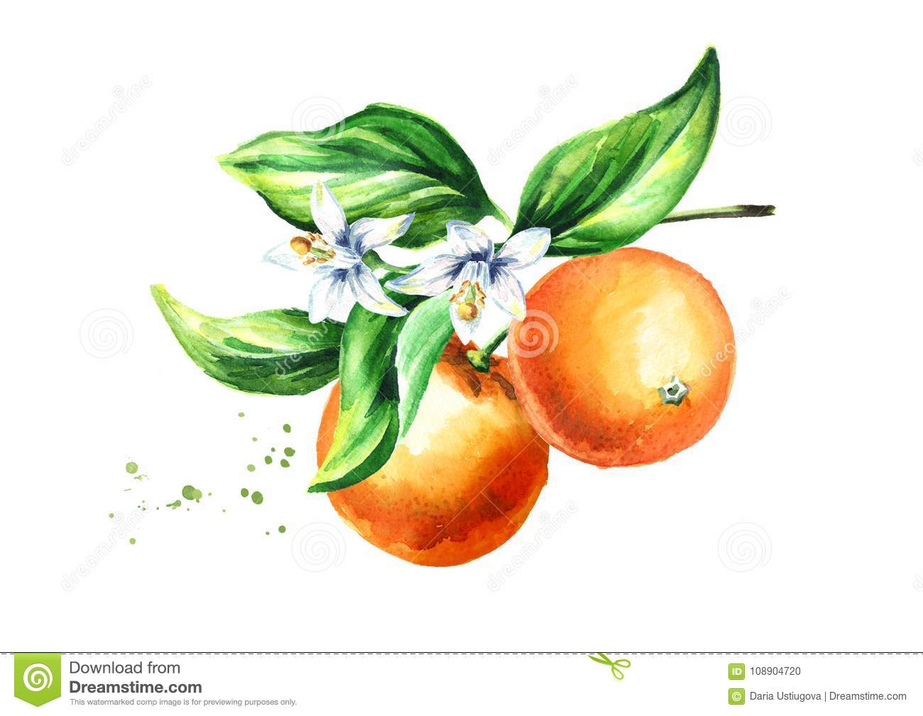 Orange Branch With Fruits Flowers And Leaves Watercolor Hand Drawn Illustration On White Background Stock Illustration Illustration Of Orange Isolate 108904720