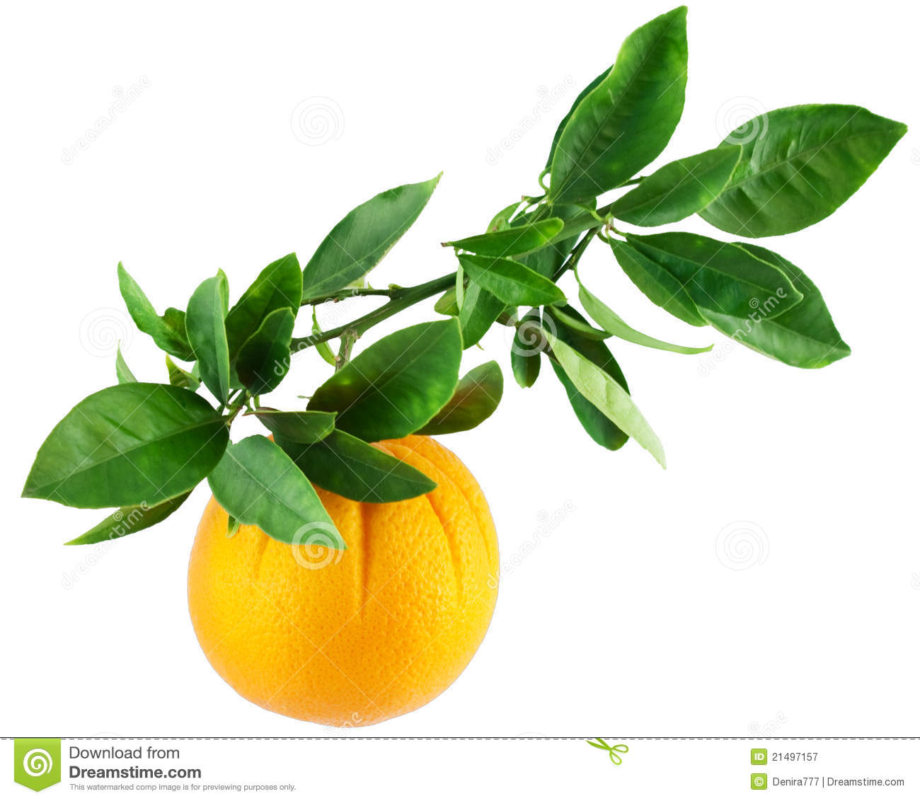 Orange On A Branch With Leaves Stock Image Image Of Leaf Green 21497157