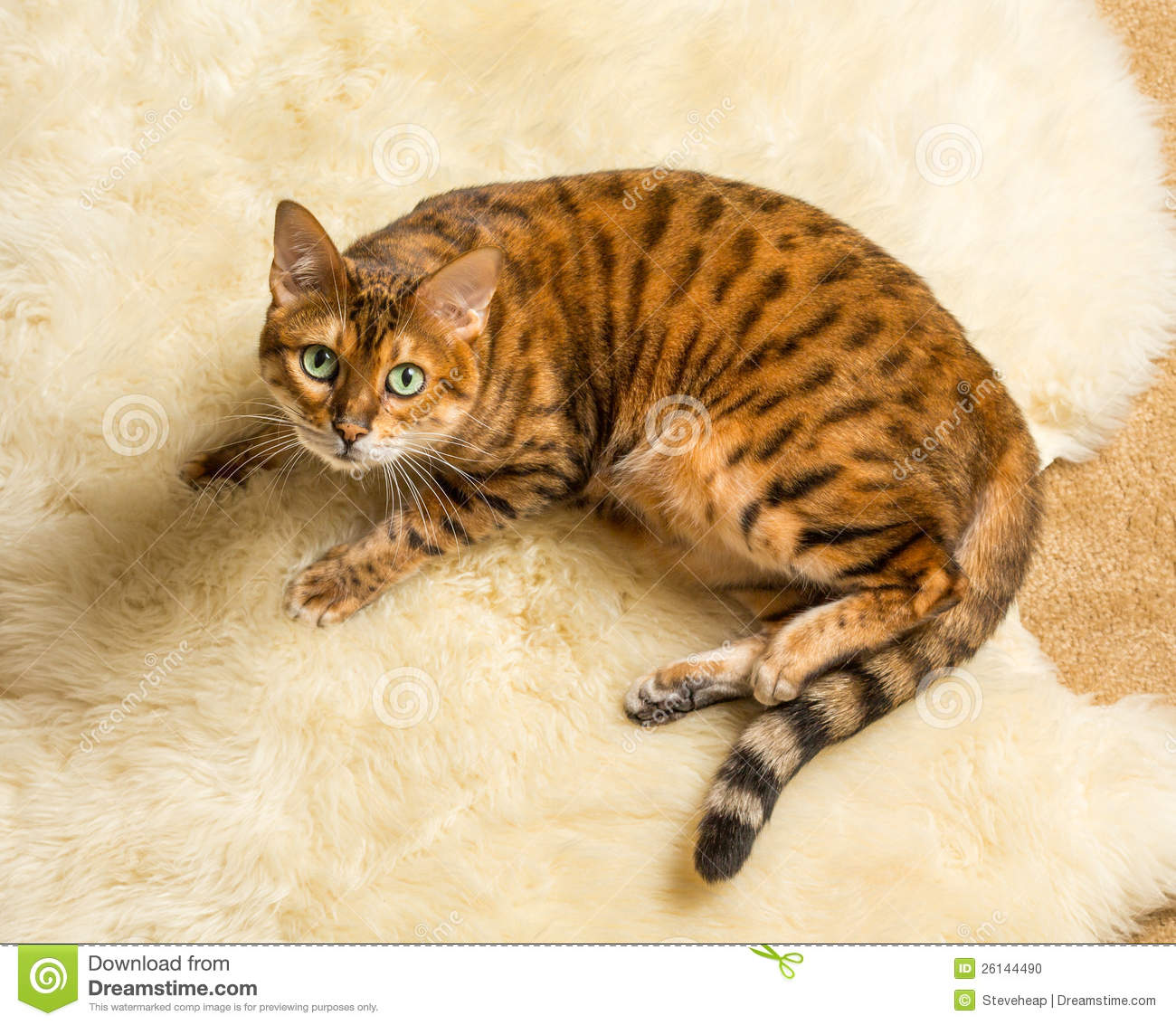 Orange Brown Bengal Cat On Wool Rug Stock Photo Image