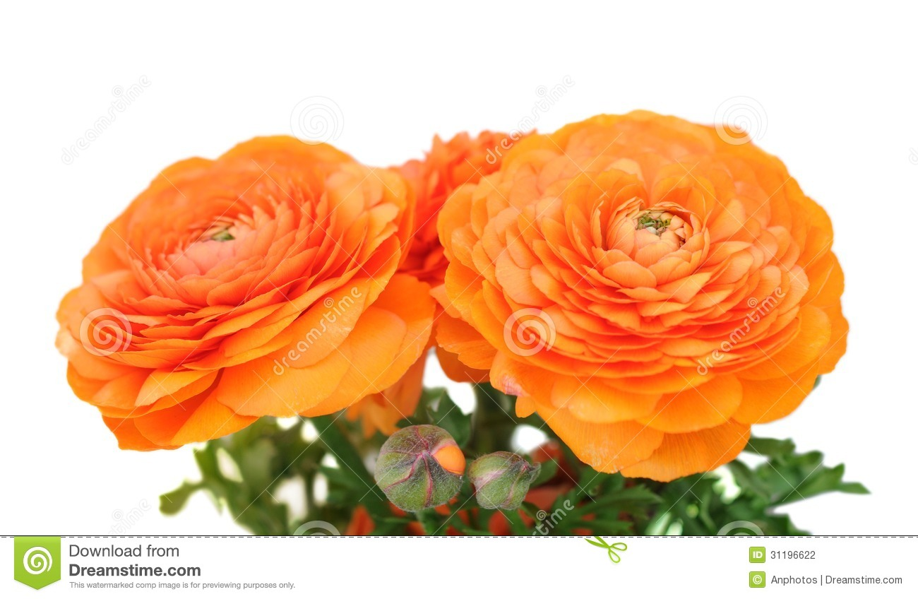 Orange Buttercup Stock Photography - Image: 31196622