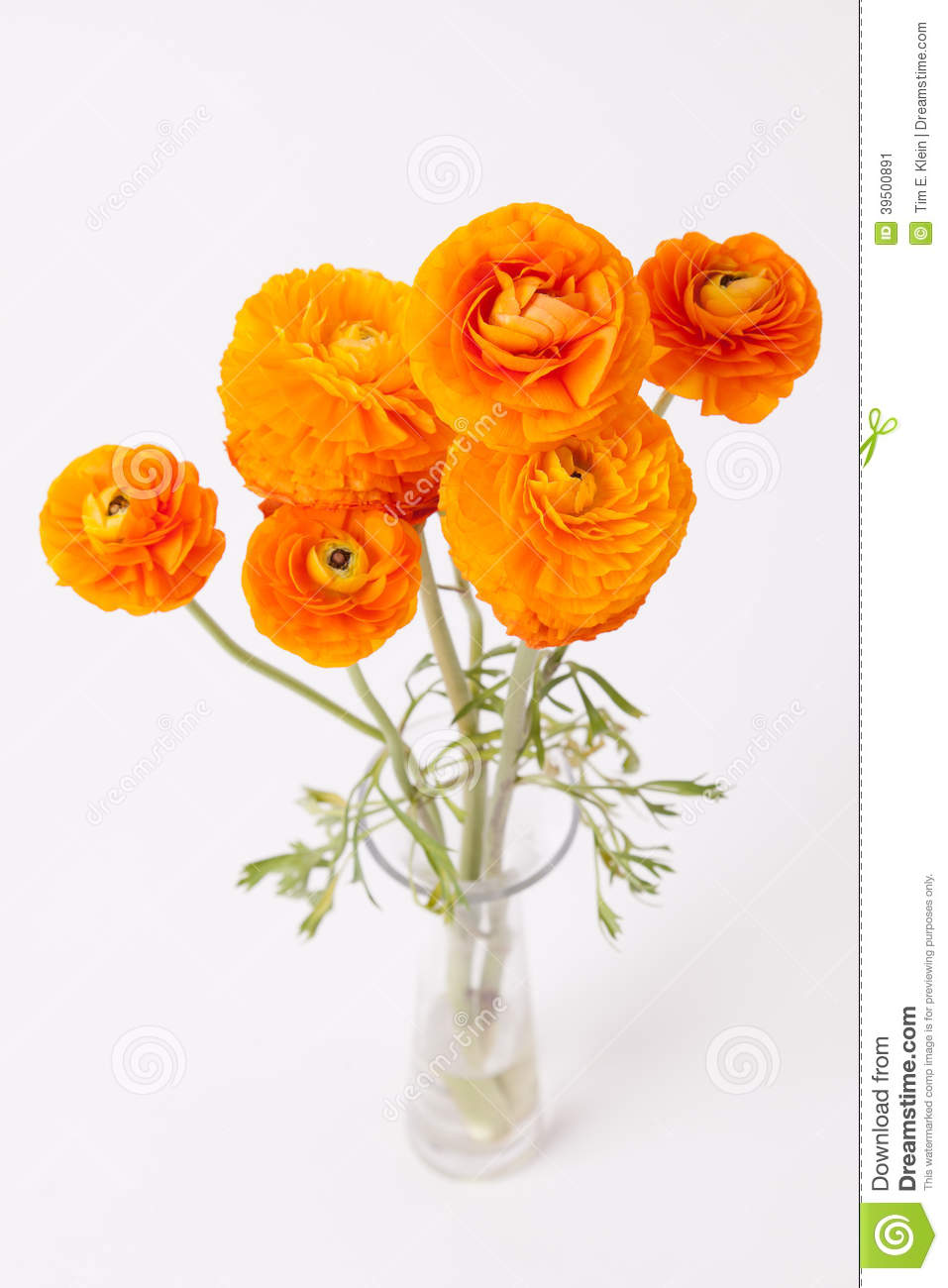 Orange Buttercups in glass vase on white