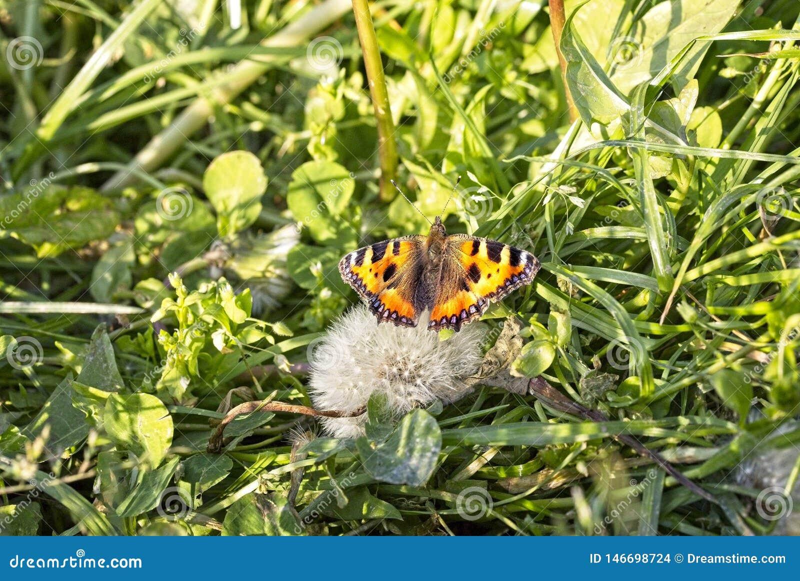 Orange butterfly on a blooming dandelion