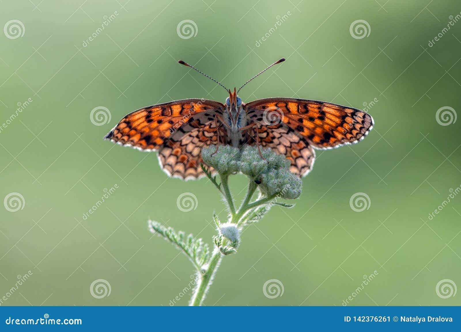 Orange Butterfly Melita spread its wings on a summer morning