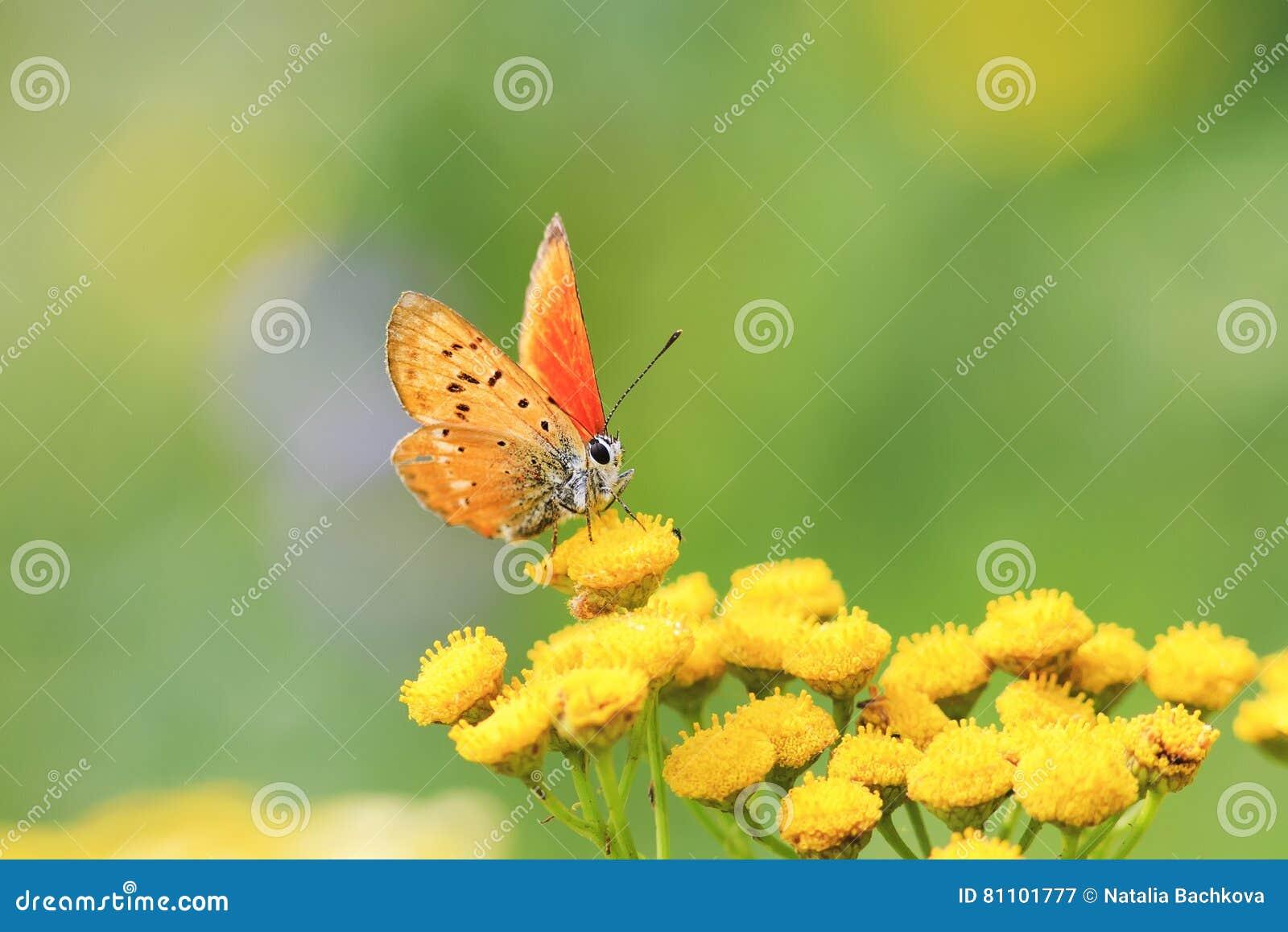 Orange butterfly sitting on yellow flowers on a summer meadow
