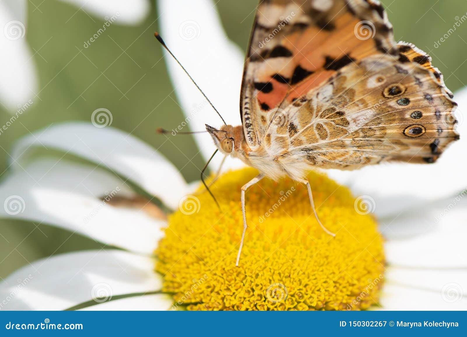 Orange butterfly Vanessa Cardui on white flower