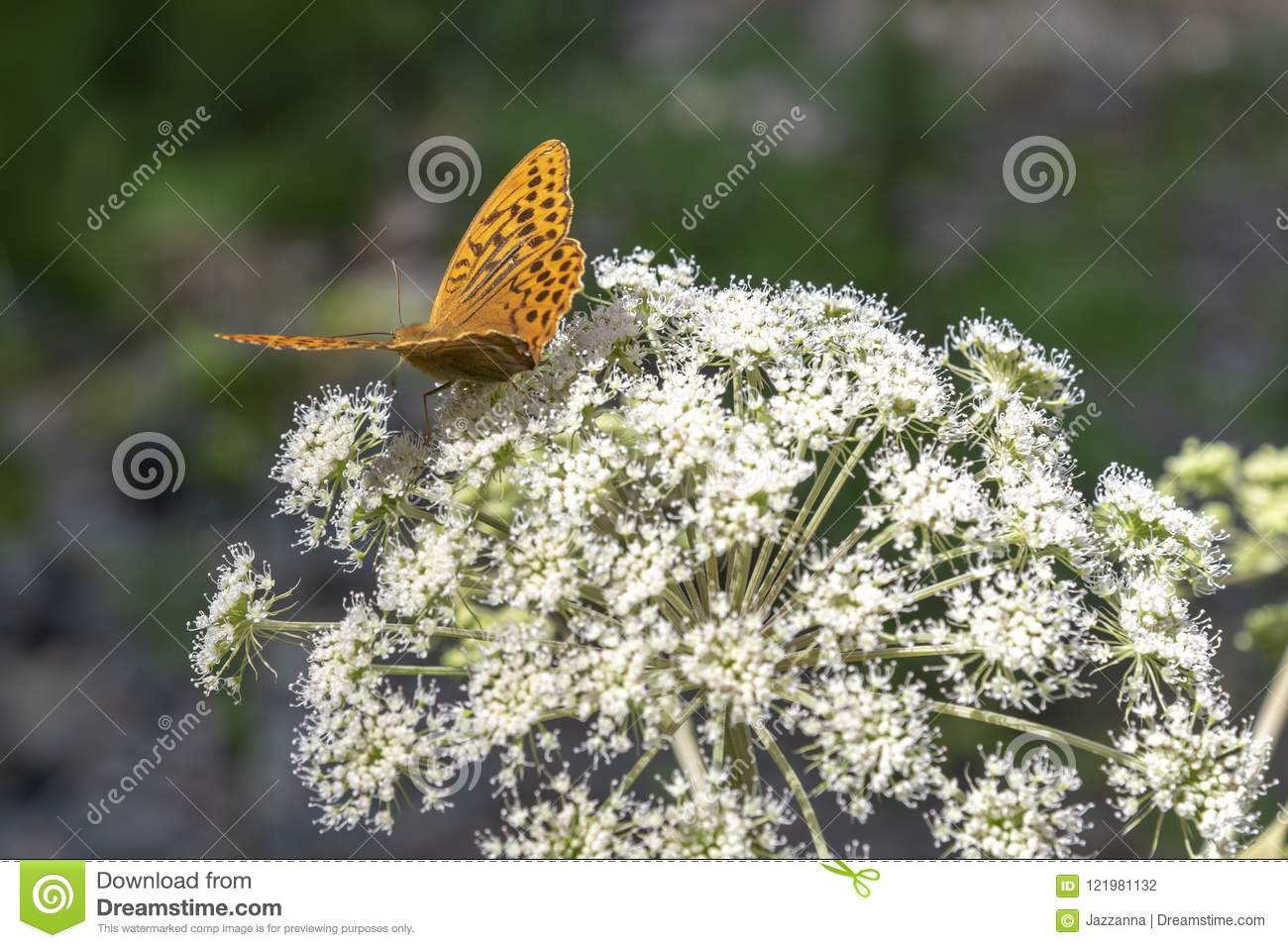 Orange butterfly at white flower