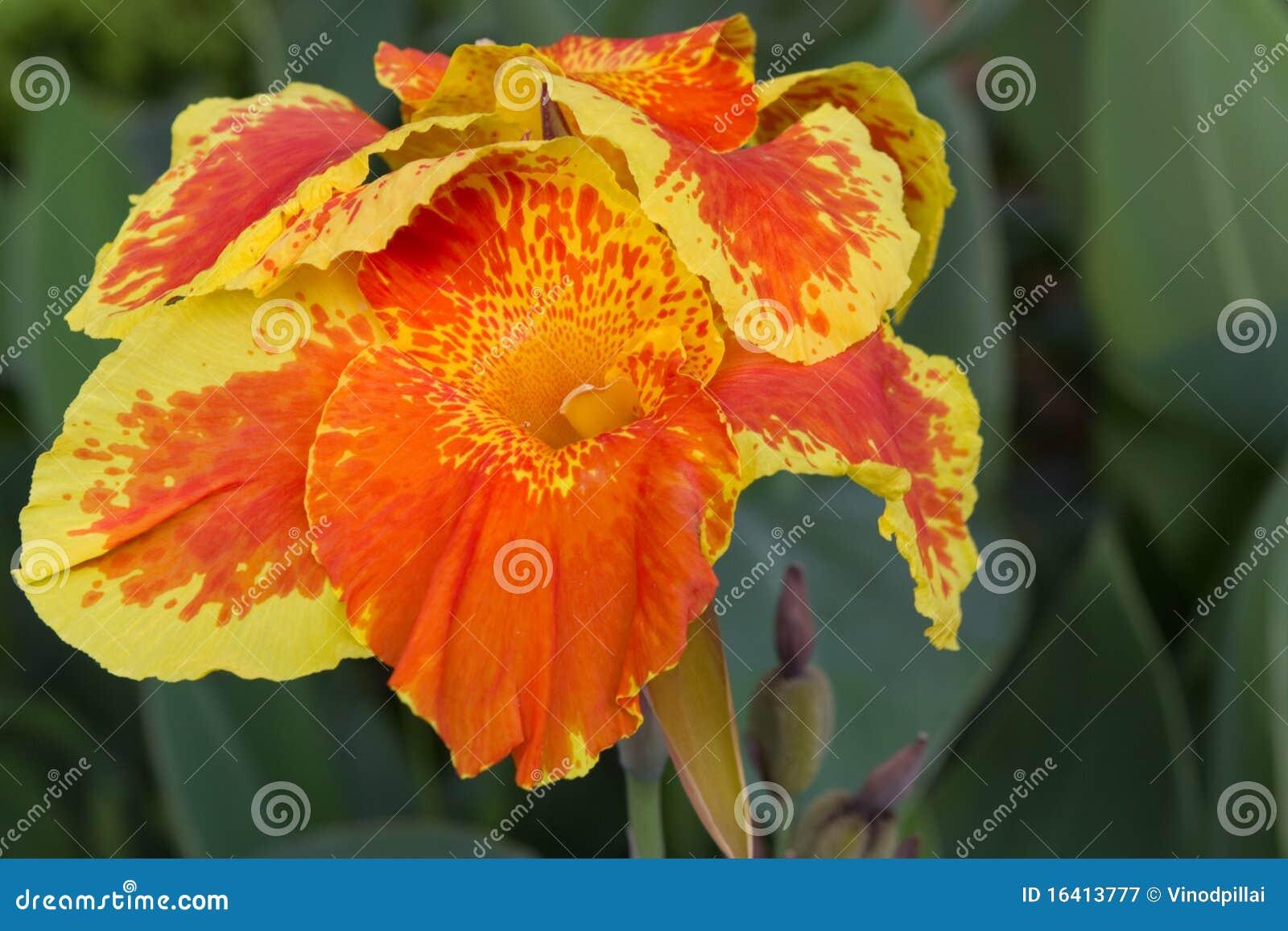 Orange canna flower