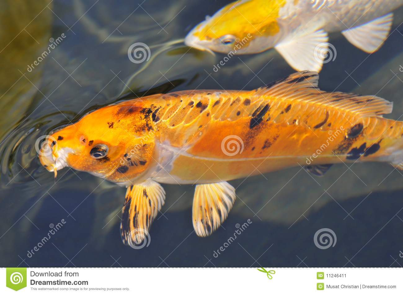 Orange carp koi stock image image 11246411 for Blue and orange koi fish