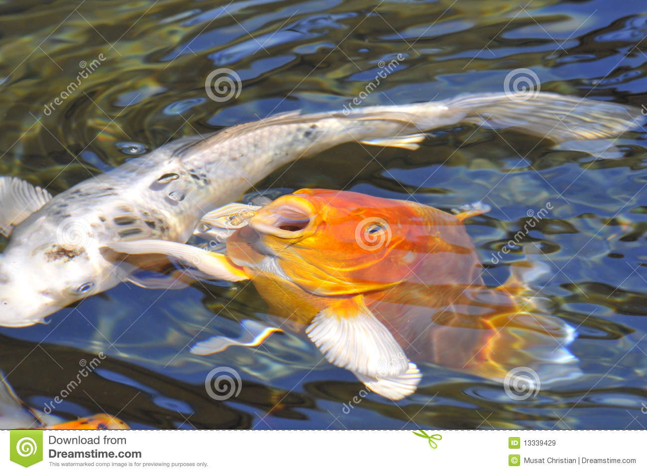 Orange carp koi royalty free stock images image 13339429 for Orange koi carp