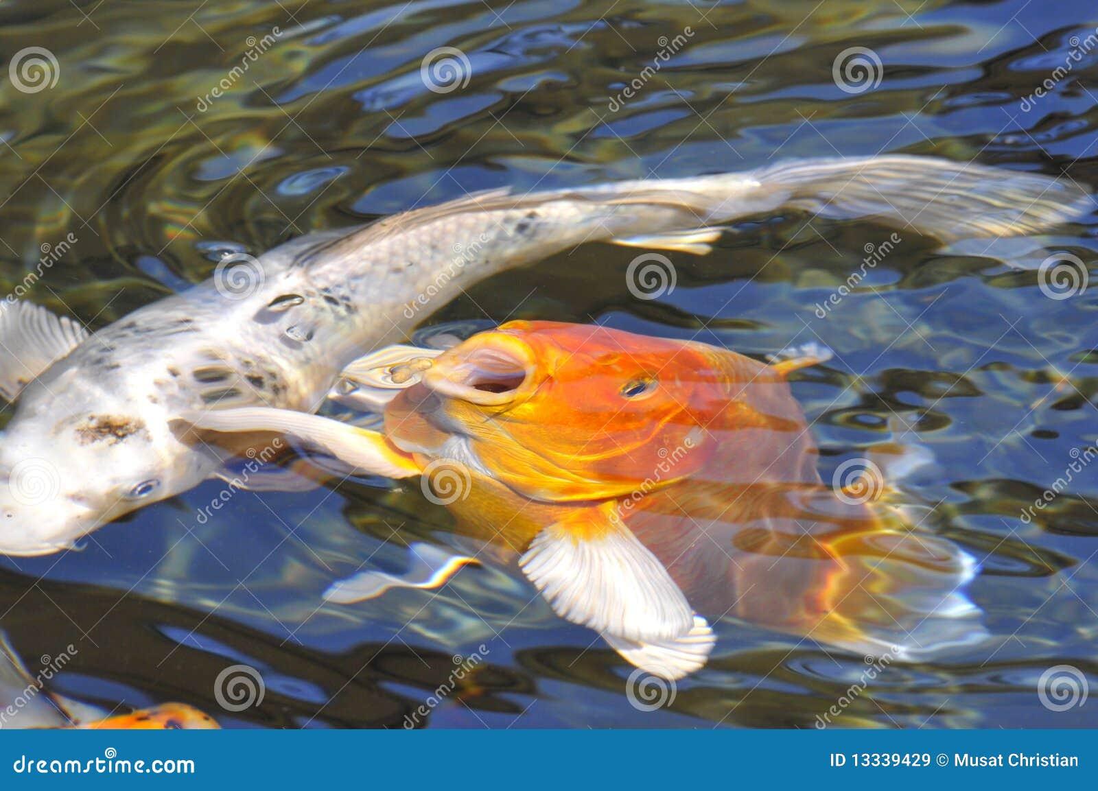 Orange carp koi royalty free stock images image 13339429 for Fraie carpe koi