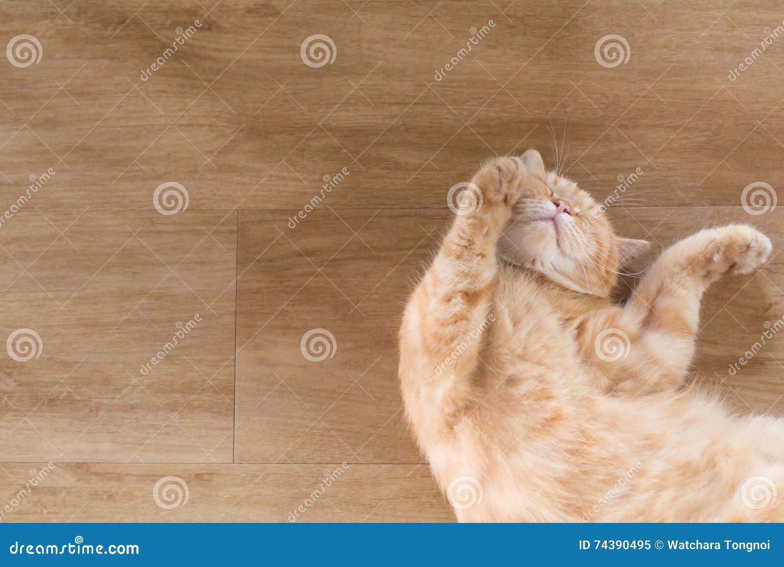 Orange cat american short hair sleeping