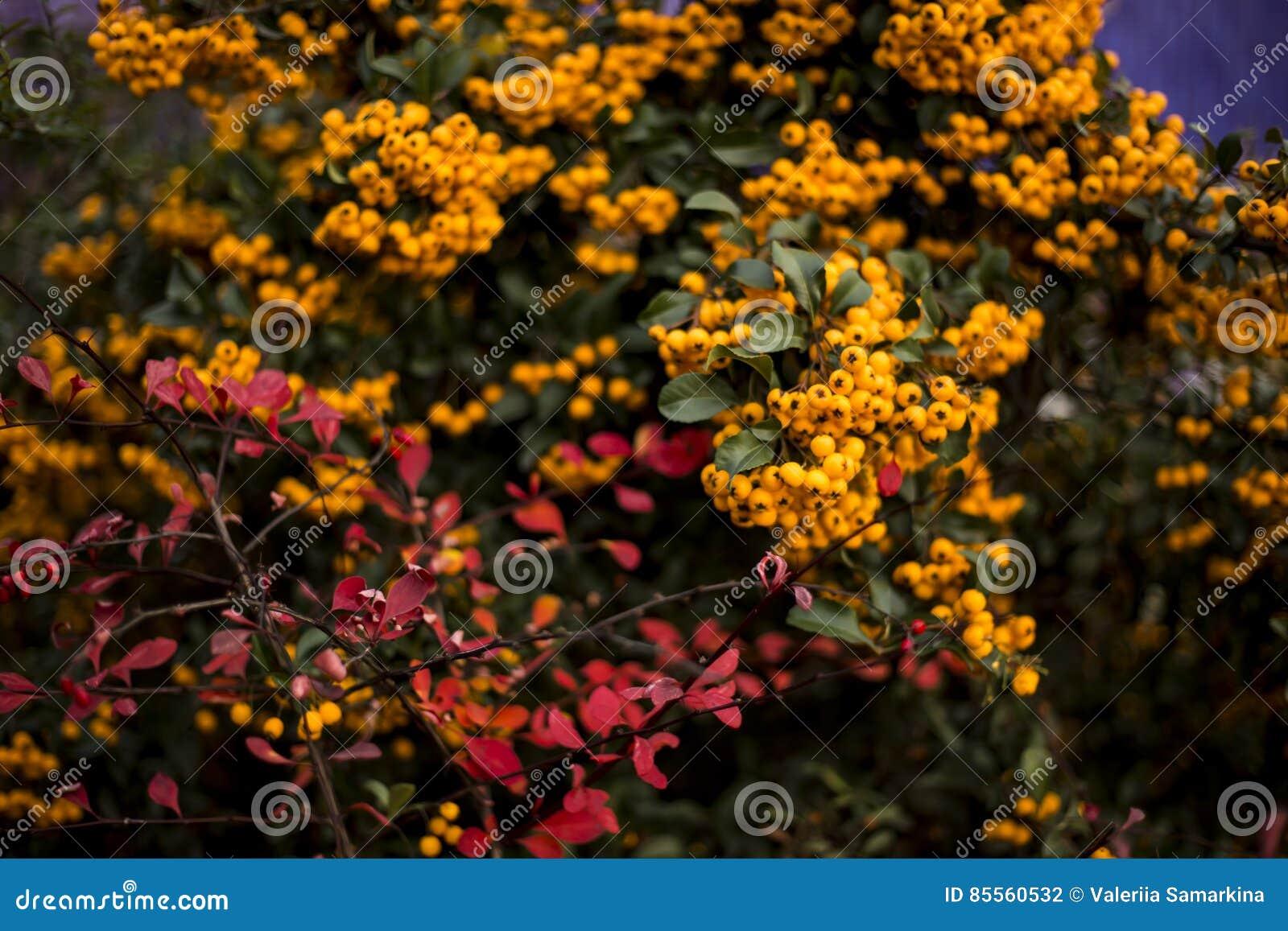 Orange Charmeur, Pyracantha