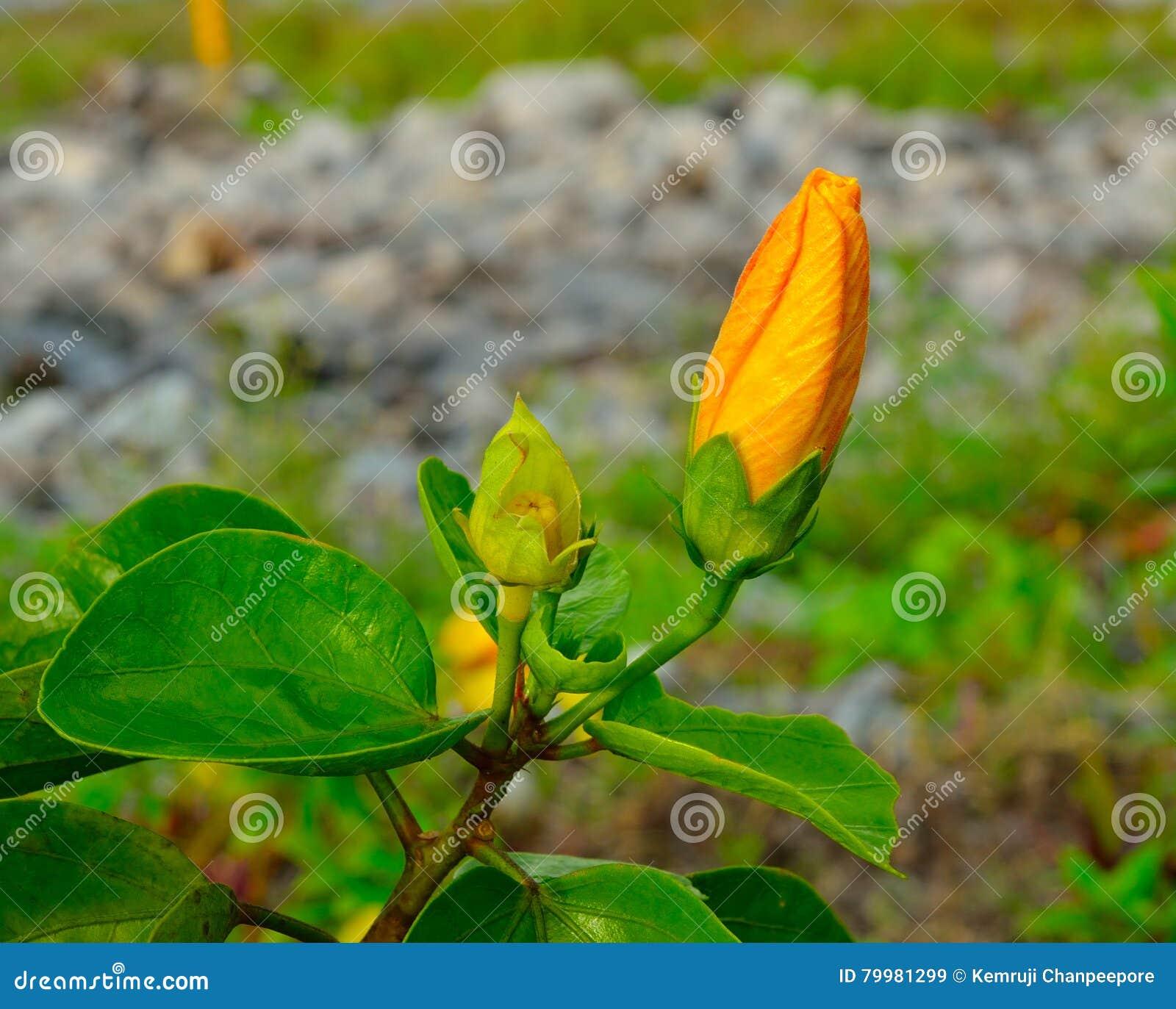 Orange Chinese Hibiscus Flower Stock Image Image Of Bavaria Flora