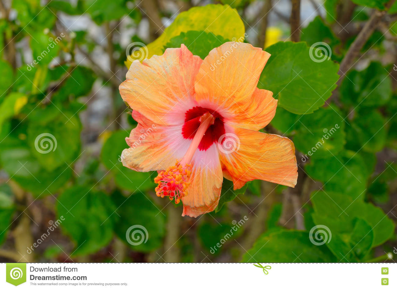 Hibiscus flower scientific name gallery flower wallpaper hd orange chinese hibiscus flower stock photo image of latin orange chinese hibiscus flower latin arboretum izmirmasajfo izmirmasajfo