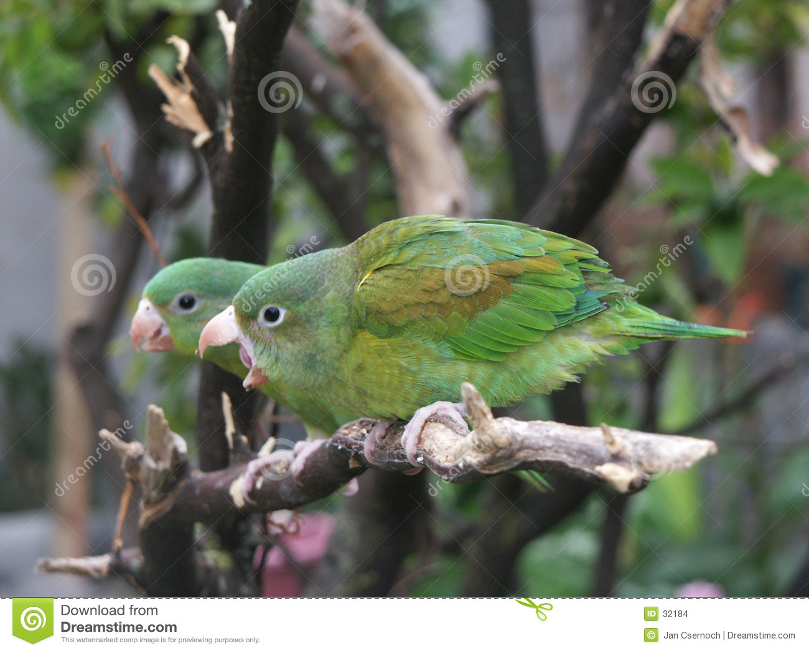 Orange-chinned Parakeet couple