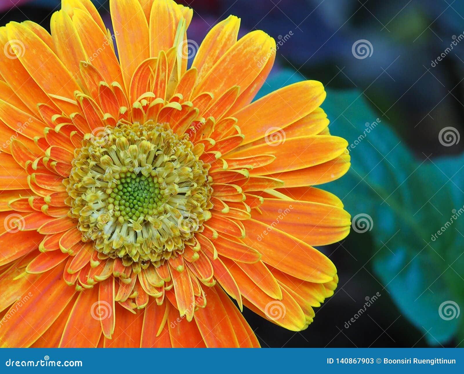 Orange Chrysantheme