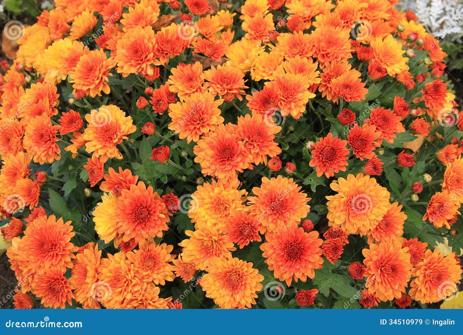 Orange Chrysanthemen Lizenzfreie Stockbilder  Bild 34510979