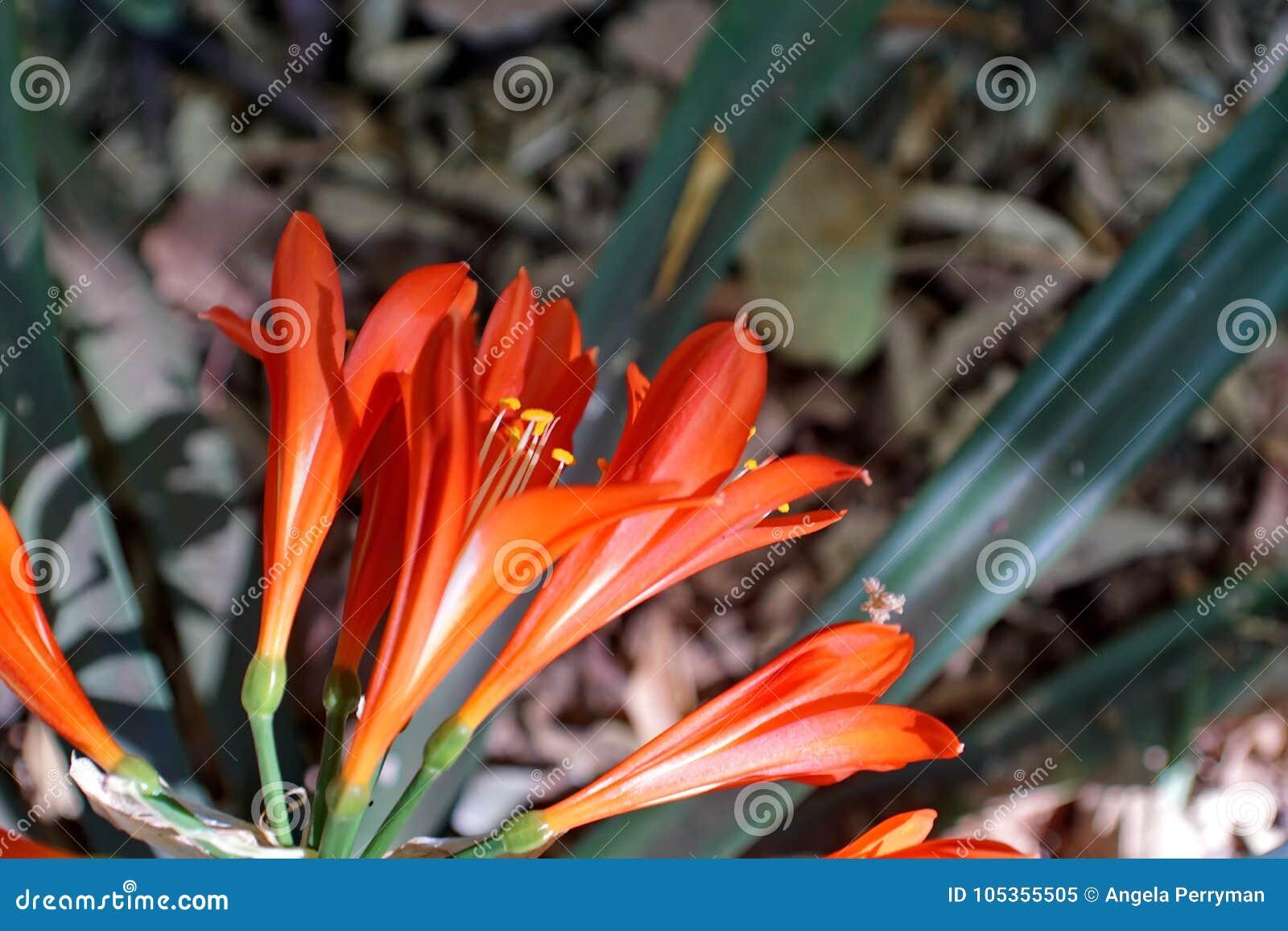 Orange clivia in Pretoria, South Africa