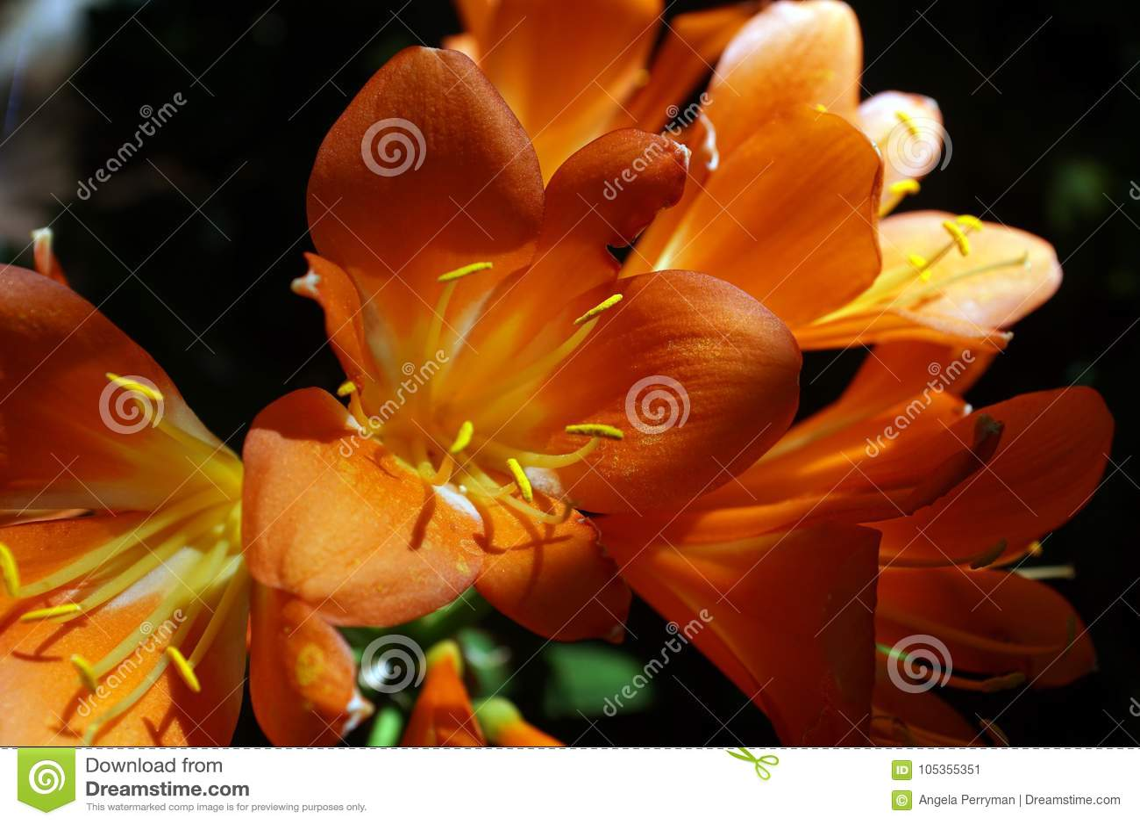 Orange clivia i Pretoria, Sydafrika