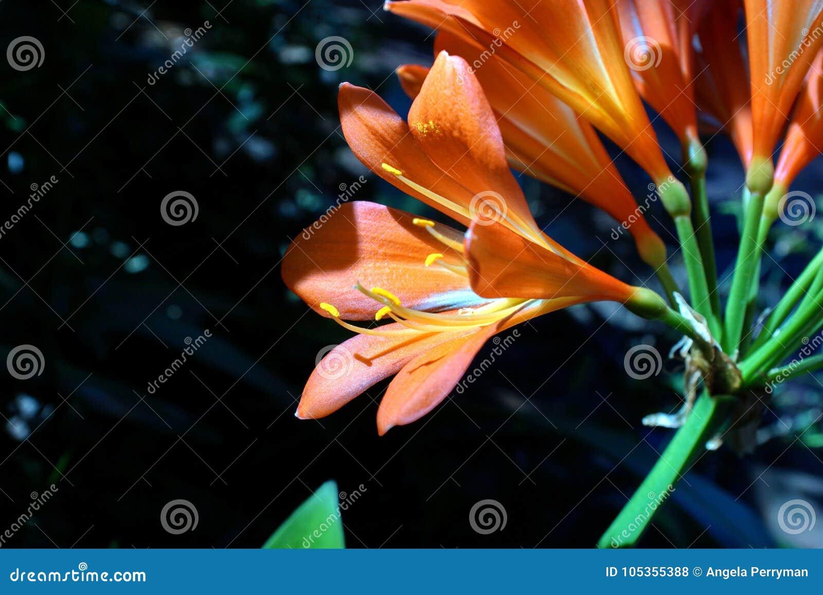 Orange clivia in Pretoria, Südafrika