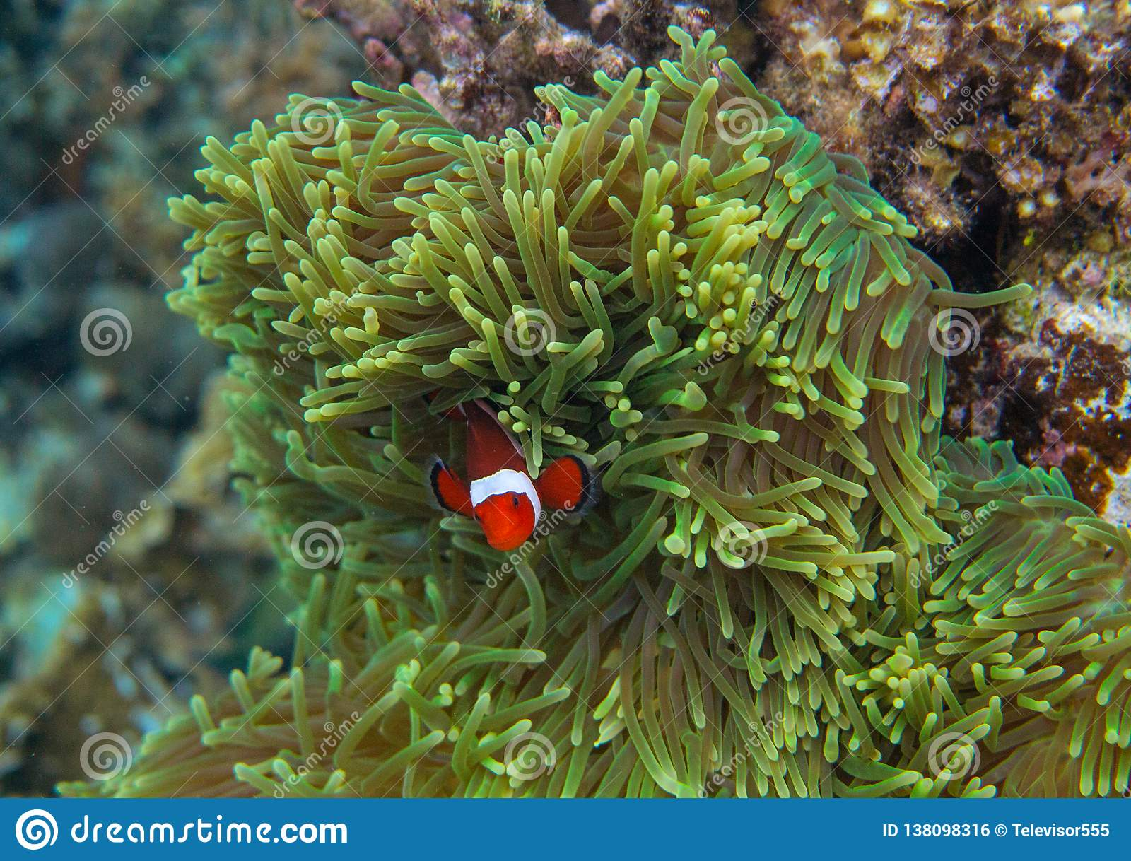 Orange clownfish in actinia. Coral reef underwater photo. Clown fish in anemone. Tropical seashore snorkeling or diving