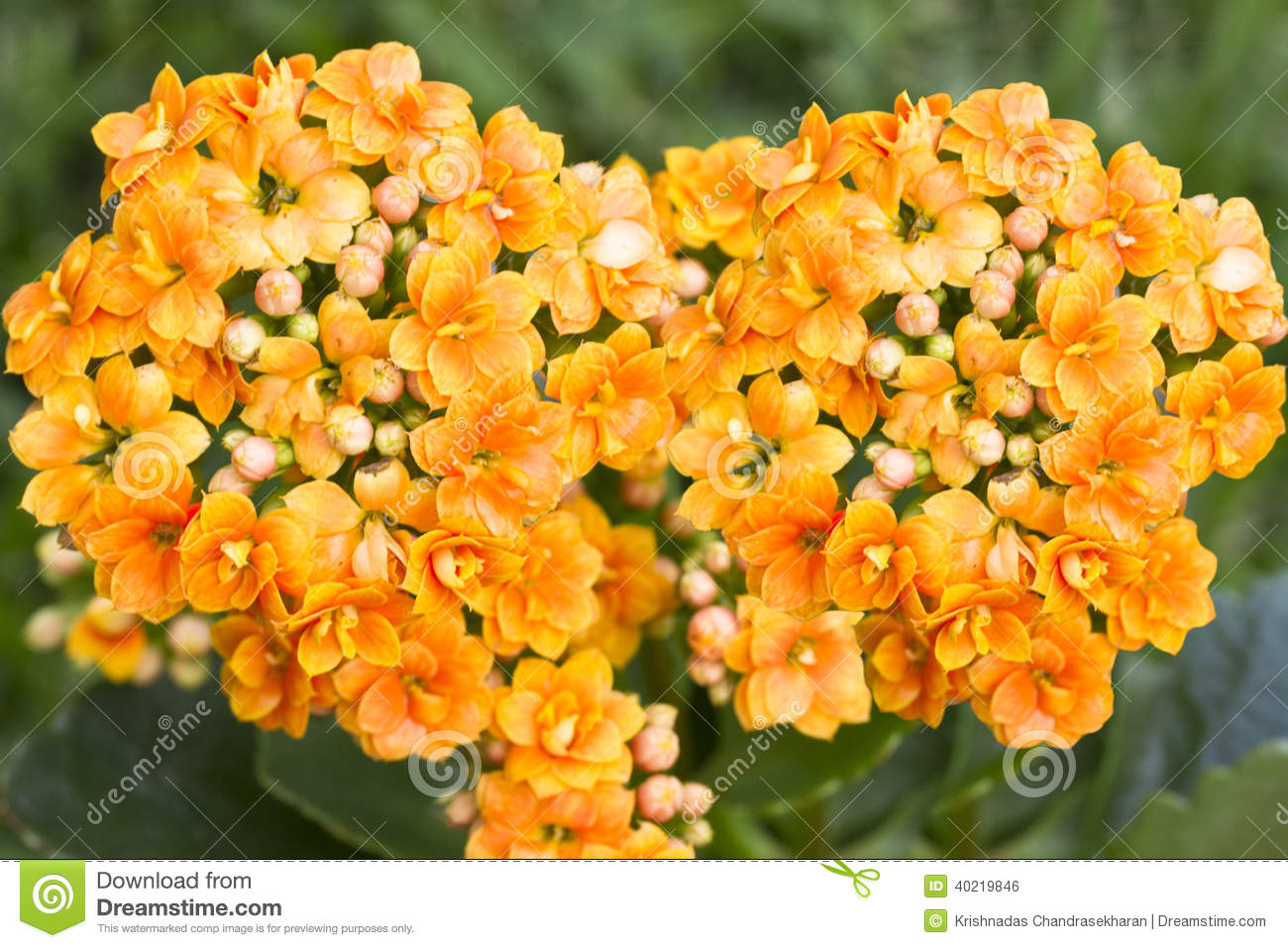 Orange Color Flower Stock Photo - Image: 40219846