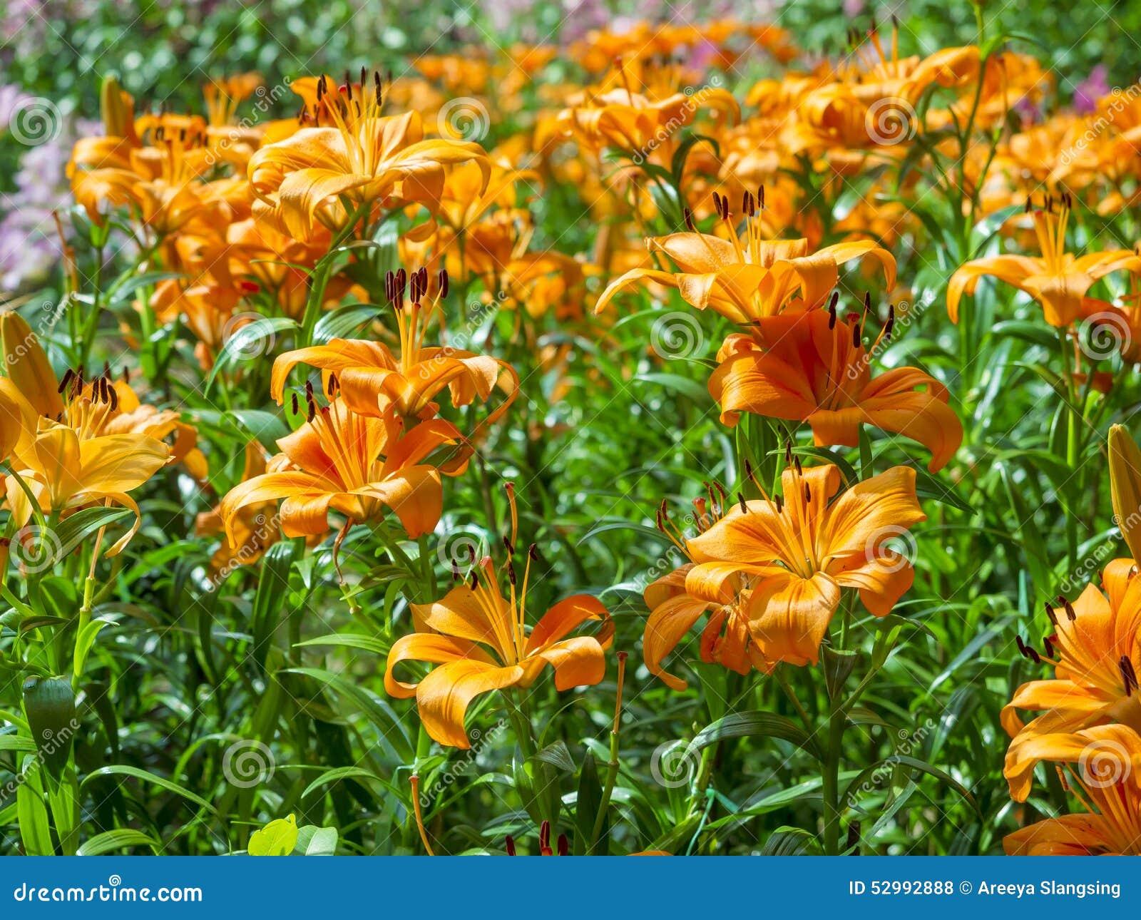 Orange color on fresh lily flowers stock photo image of floral orange color on fresh lily flowers izmirmasajfo Choice Image