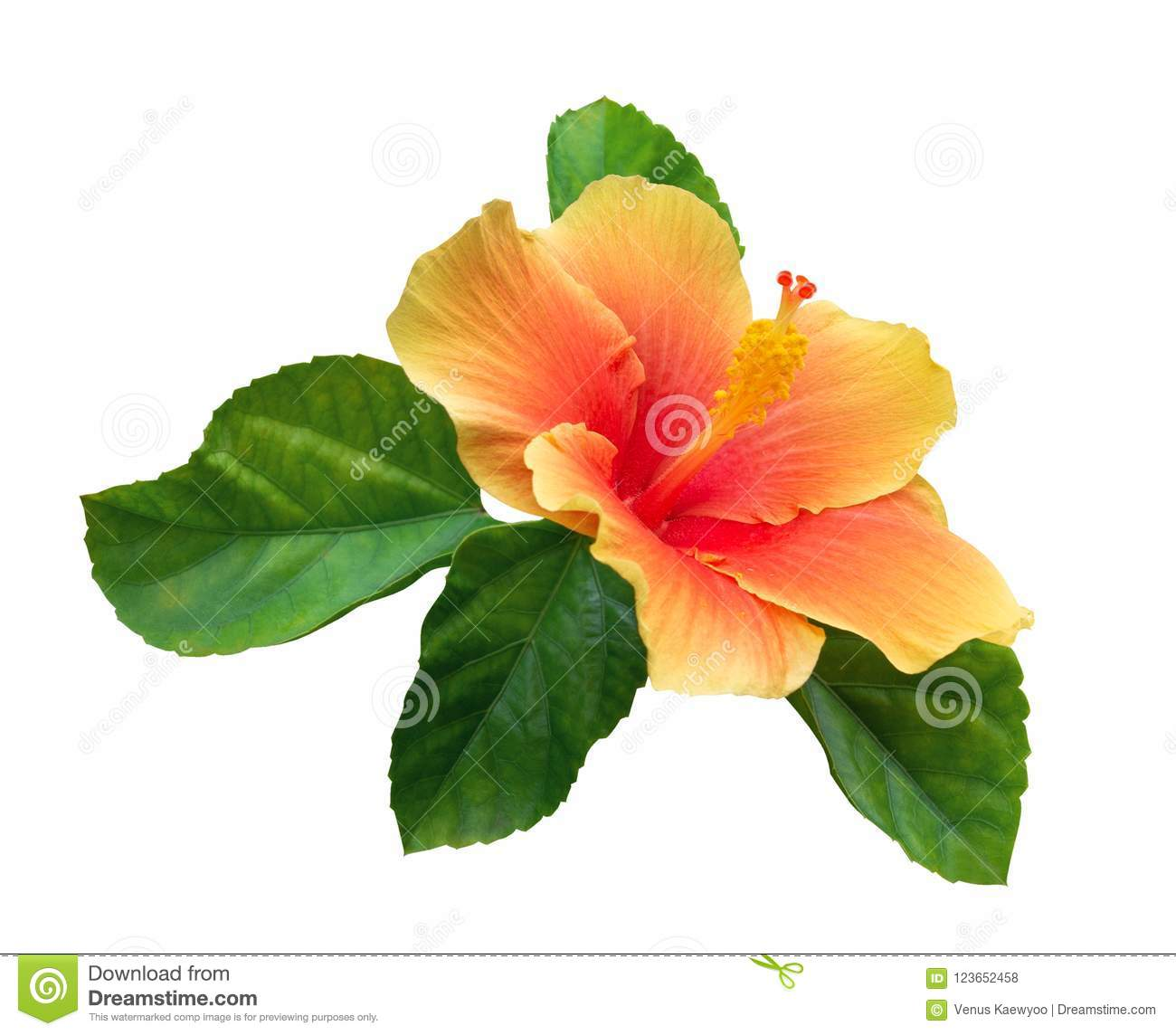 Hibiscus Leaves Stock Images Download 9220 Royalty Free Photos