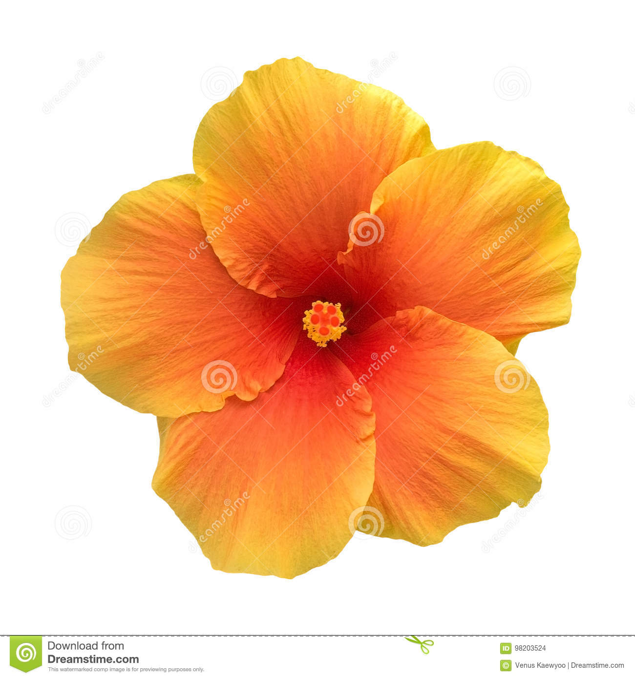 Orange Color Hibiscus Flower Top View Isolated On White Background ...