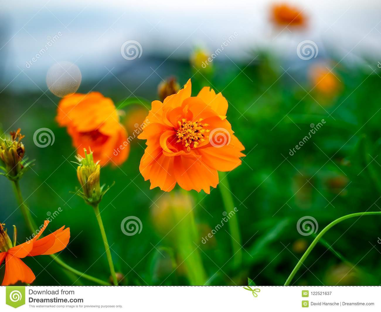 A Small Orange Cosmos Flower In A Field Stock Image Image Of