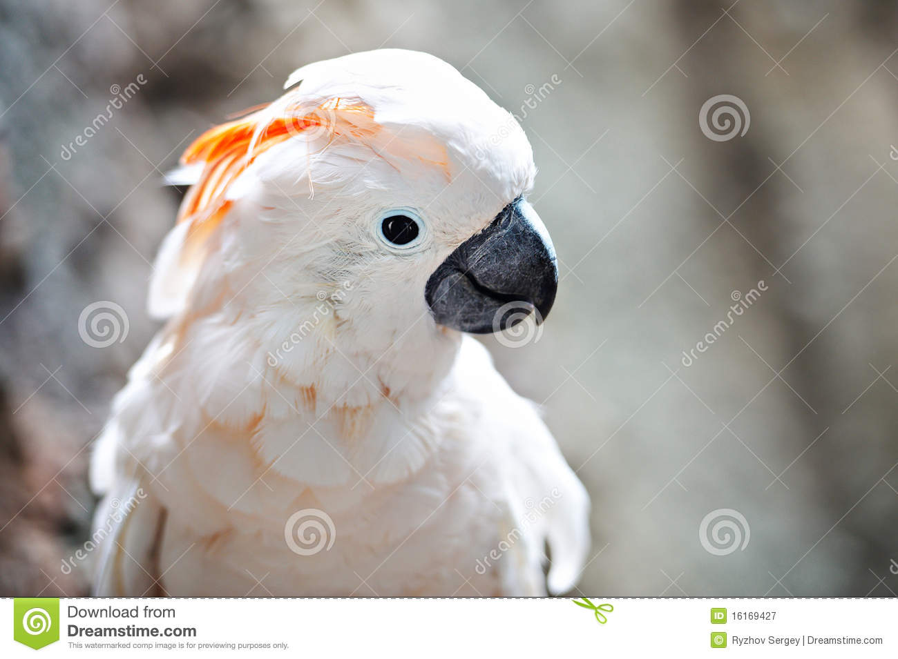 orange crested white cockatoo on branch stock image image of head