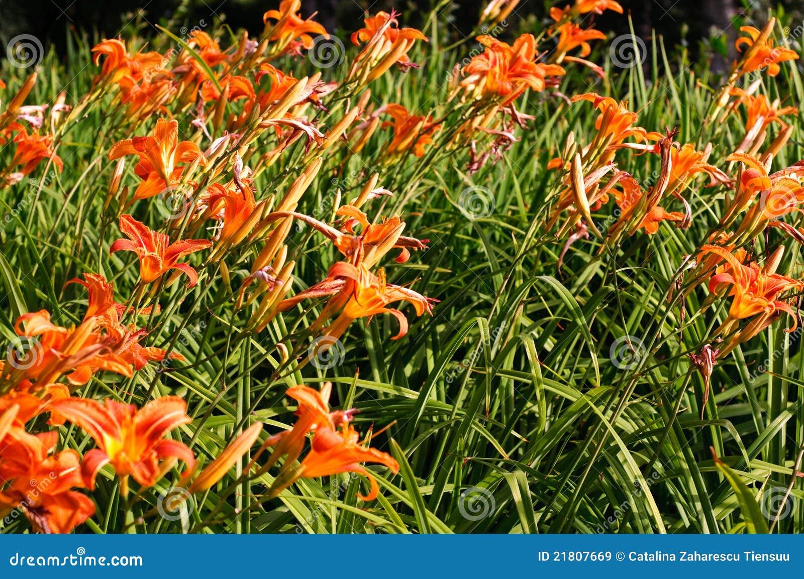 Orange d été lilly dans la fleur
