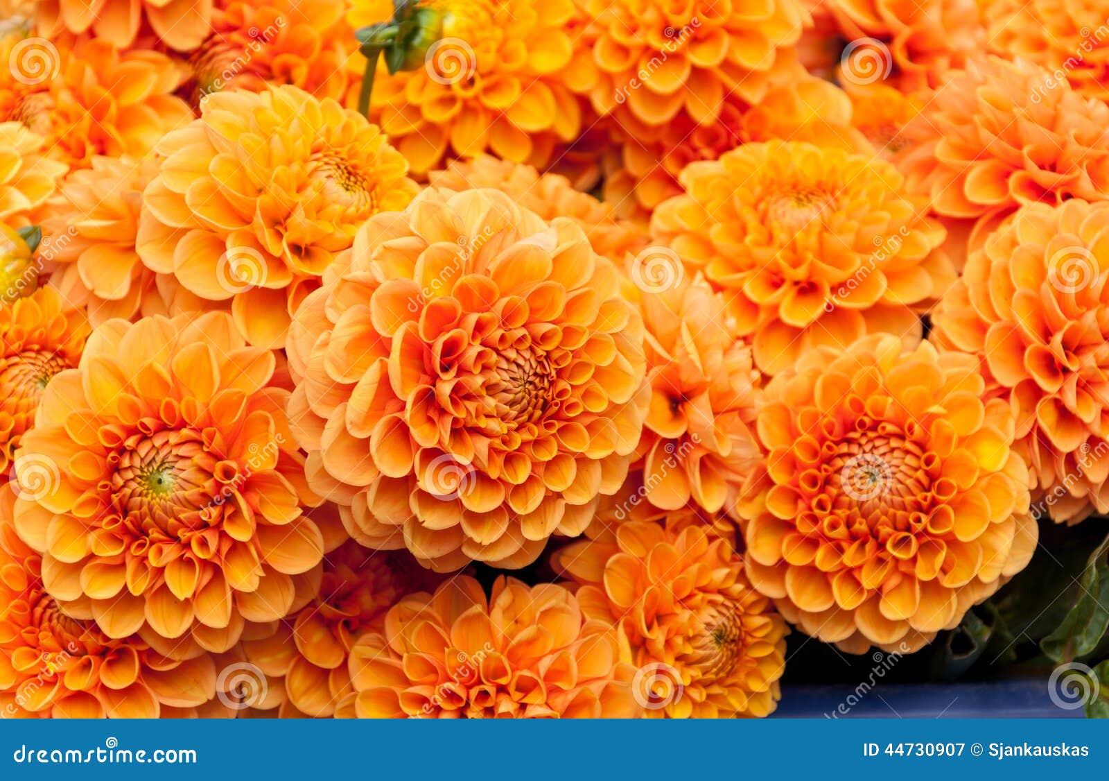 Orange Dahlia Flower Background Stock Image Image Of Leaf Blossom