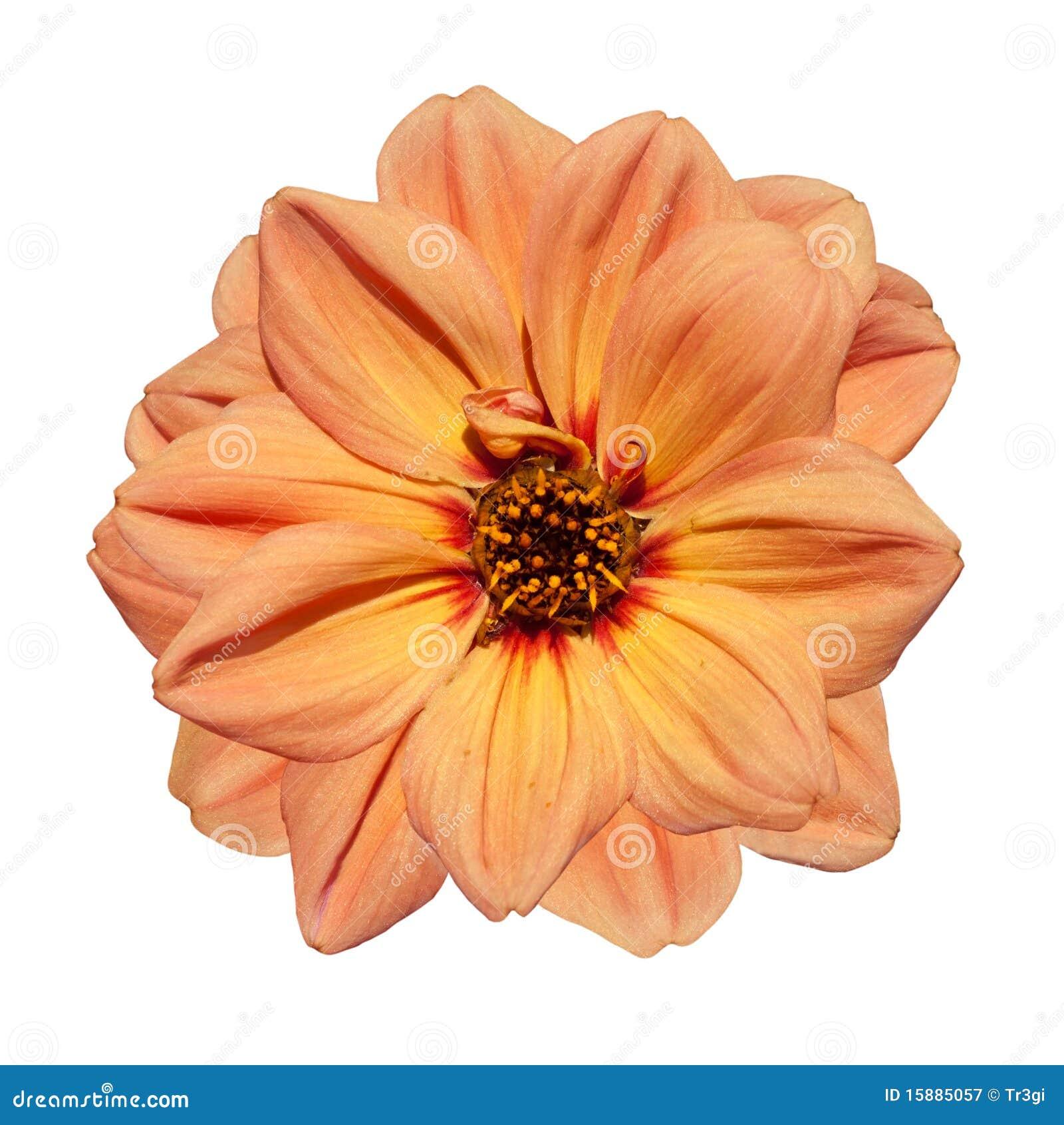 Orange Dahlia Flower Isolated On White Background Stock ...