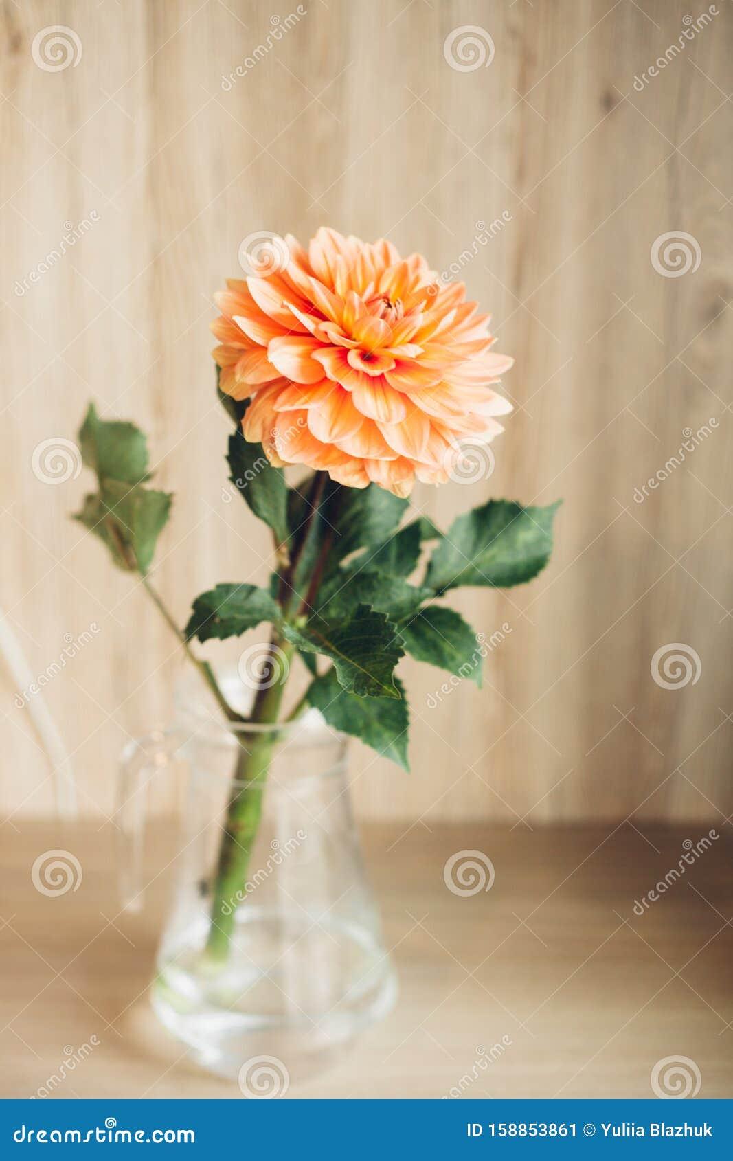 Orange Dahlia Single Flower In The Glass Vase On Table ...