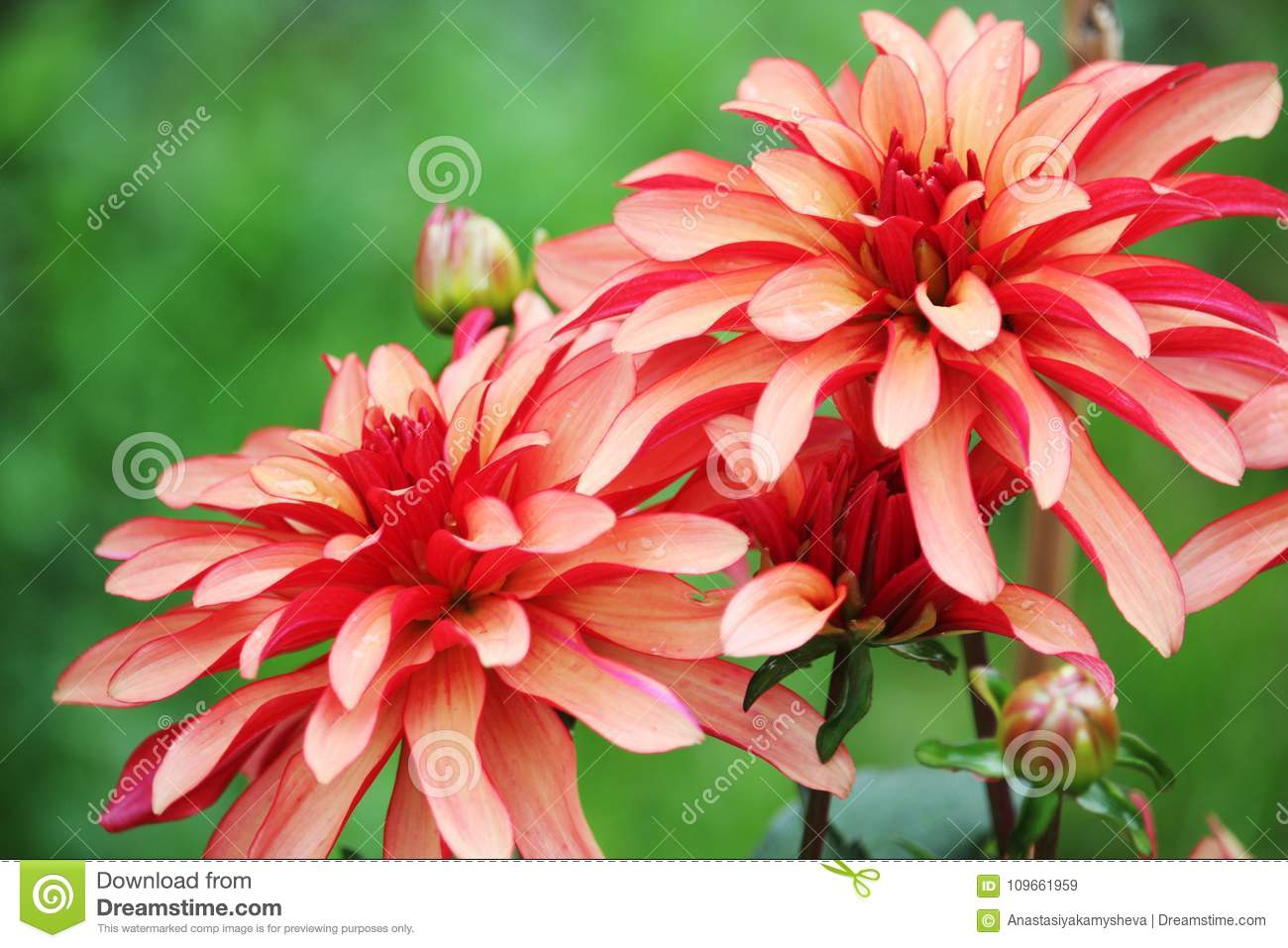 Blossoming Dahlias In Garden Stock Image Image Of Beautiful