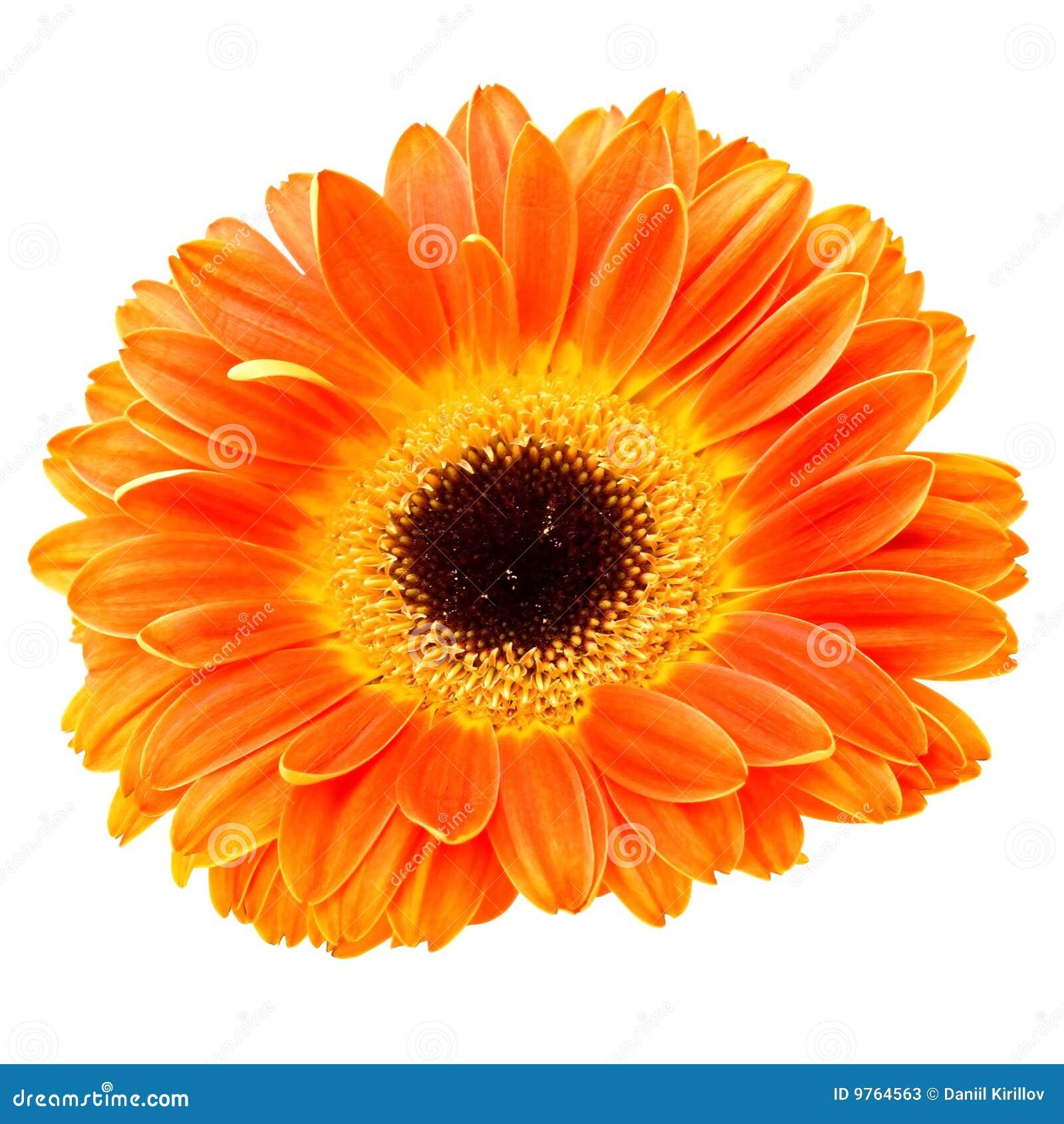 Orange Daisy Flower Isolated On White Stock Image Image Of
