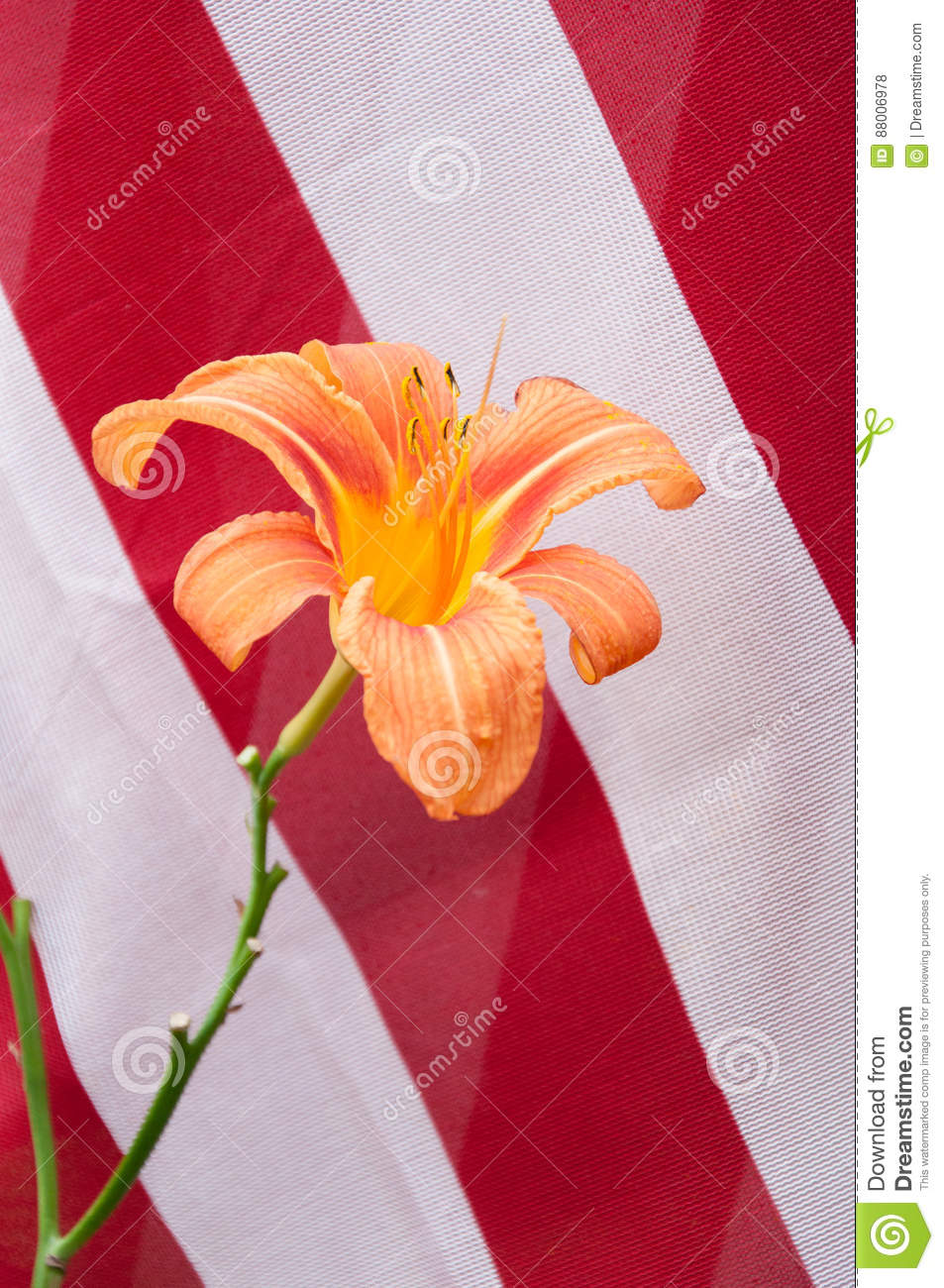 Orange day lily with red and white stripes of us flag stock photo download orange day lily with red and white stripes of us flag stock photo image mightylinksfo