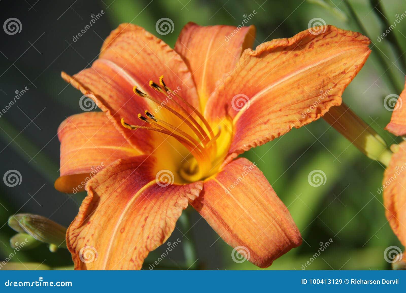 Orange Daylili Stock Image Image Of Flower Leaves 100413129