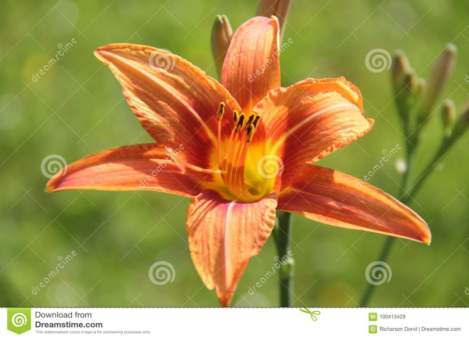 Orange Daylili Stock Image Image Of Jardin Richarsondorvildorvil