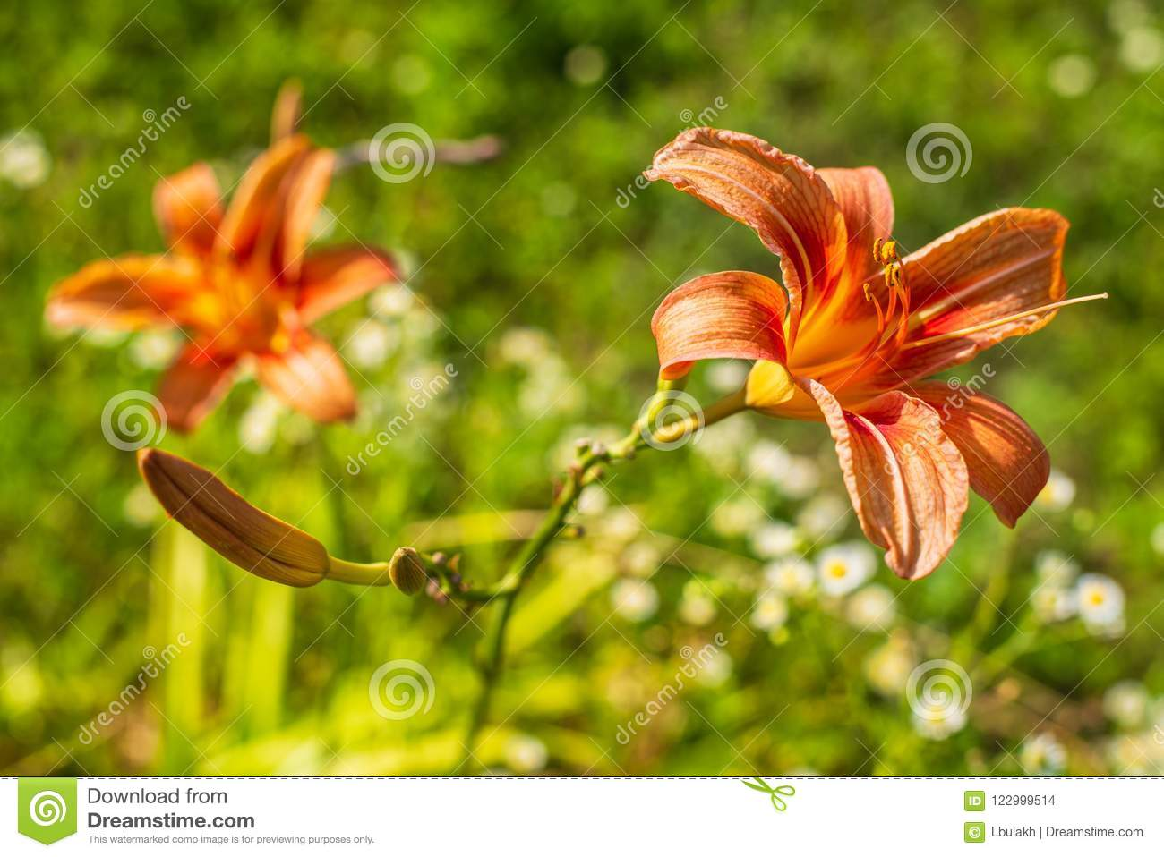 Orange Daylily Flowers In Blooming Summer Stock Photo Image Of