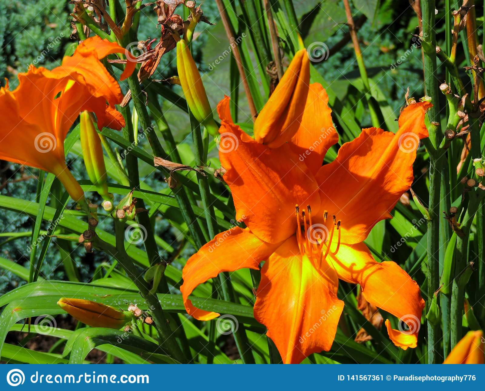 Orange Daylily i blom
