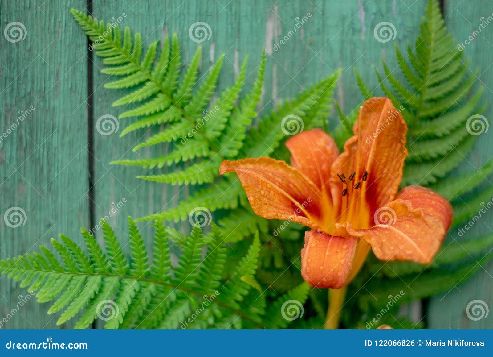 Orange daylilyblomma- och gräsplanormbunkesidor på gammal tappning målade träbakgrund, copyspace