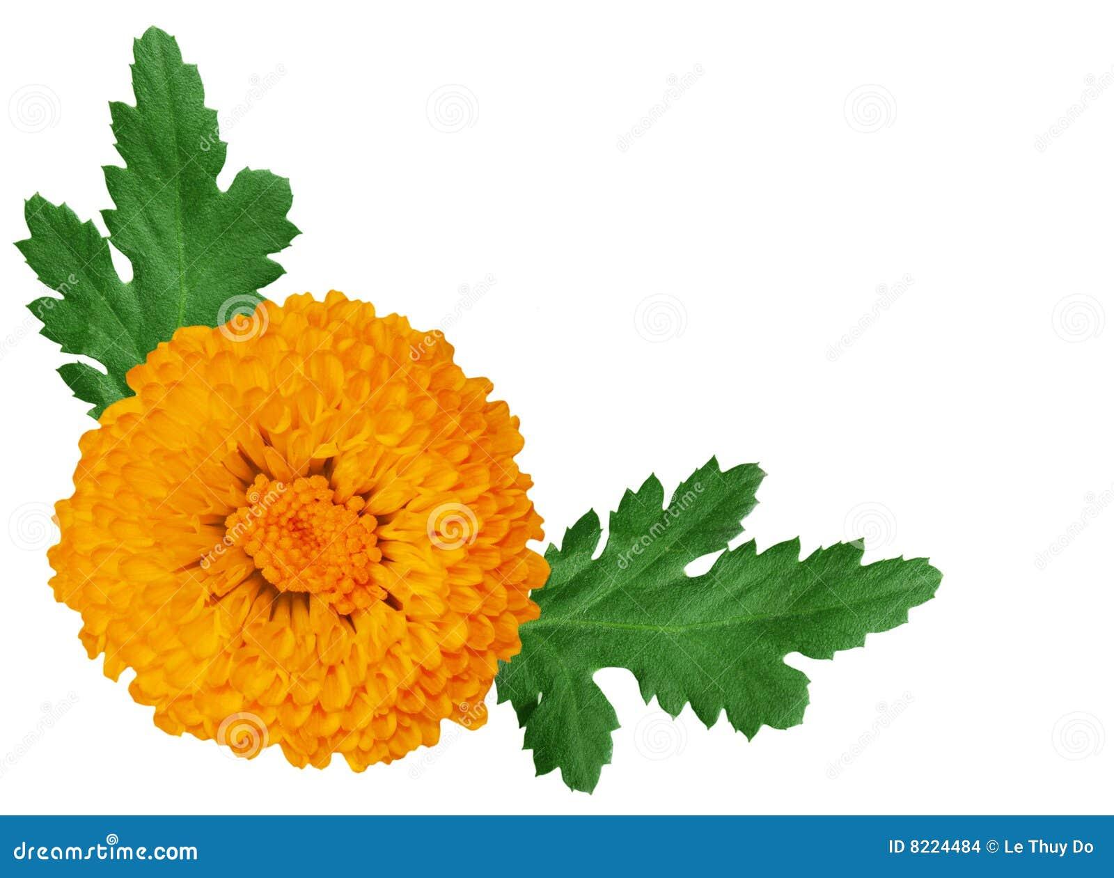 Orange de chrysanthemum