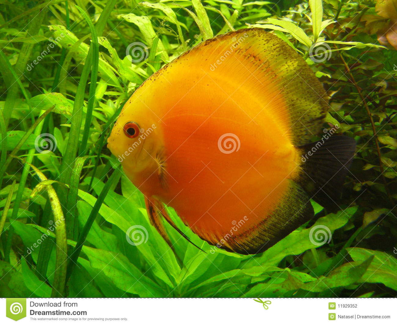 Orange diskus in an aquarium stock photo image 11929352 for Diskus aquarium