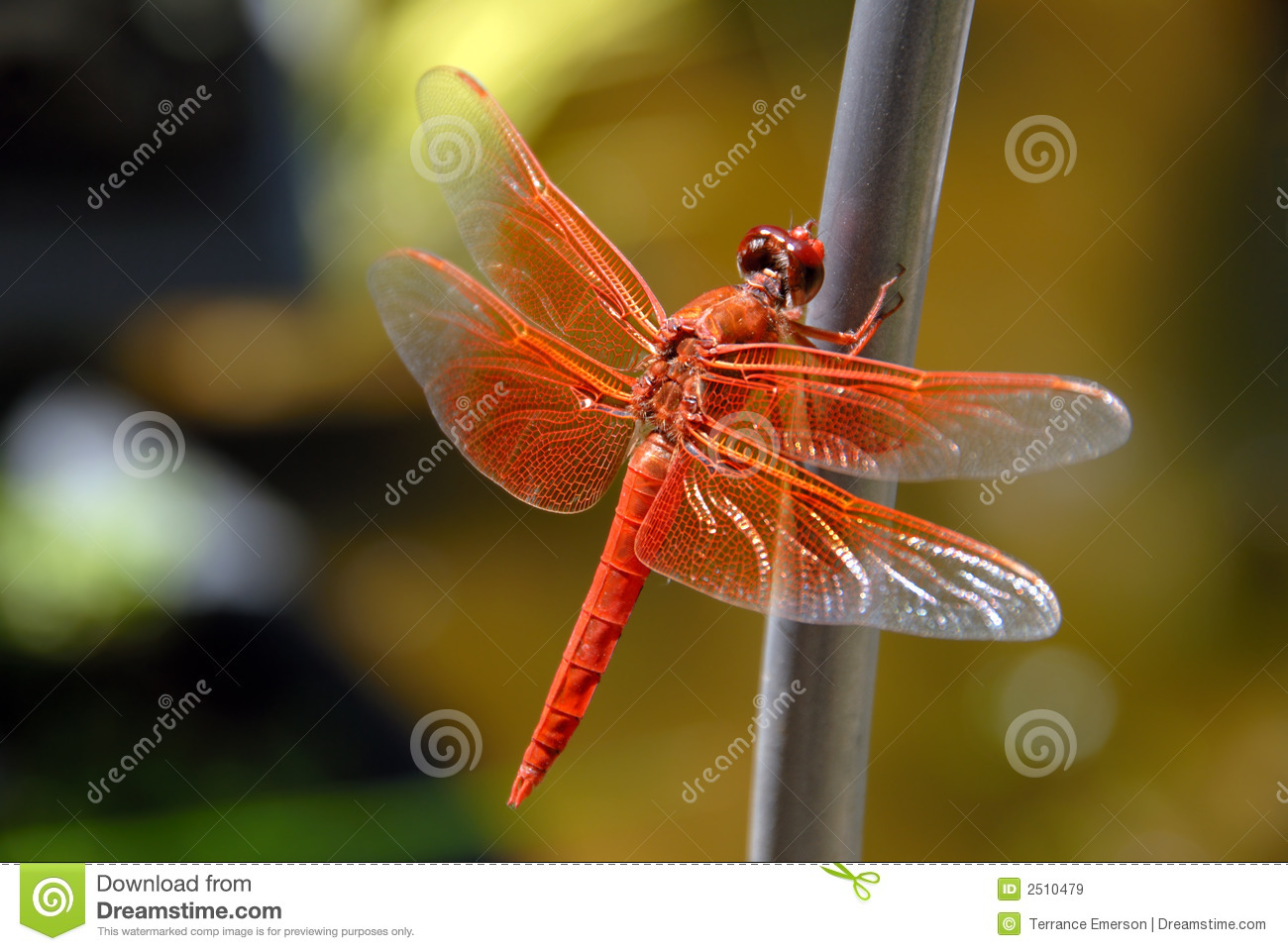 Bright Orange Dragon Fly, Wings Spread, Resting Against Green ...