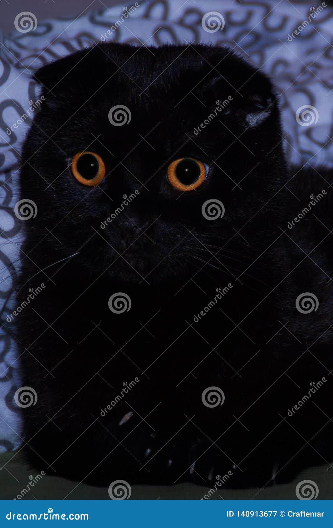Orange-eyed scottish-fold cat close up
